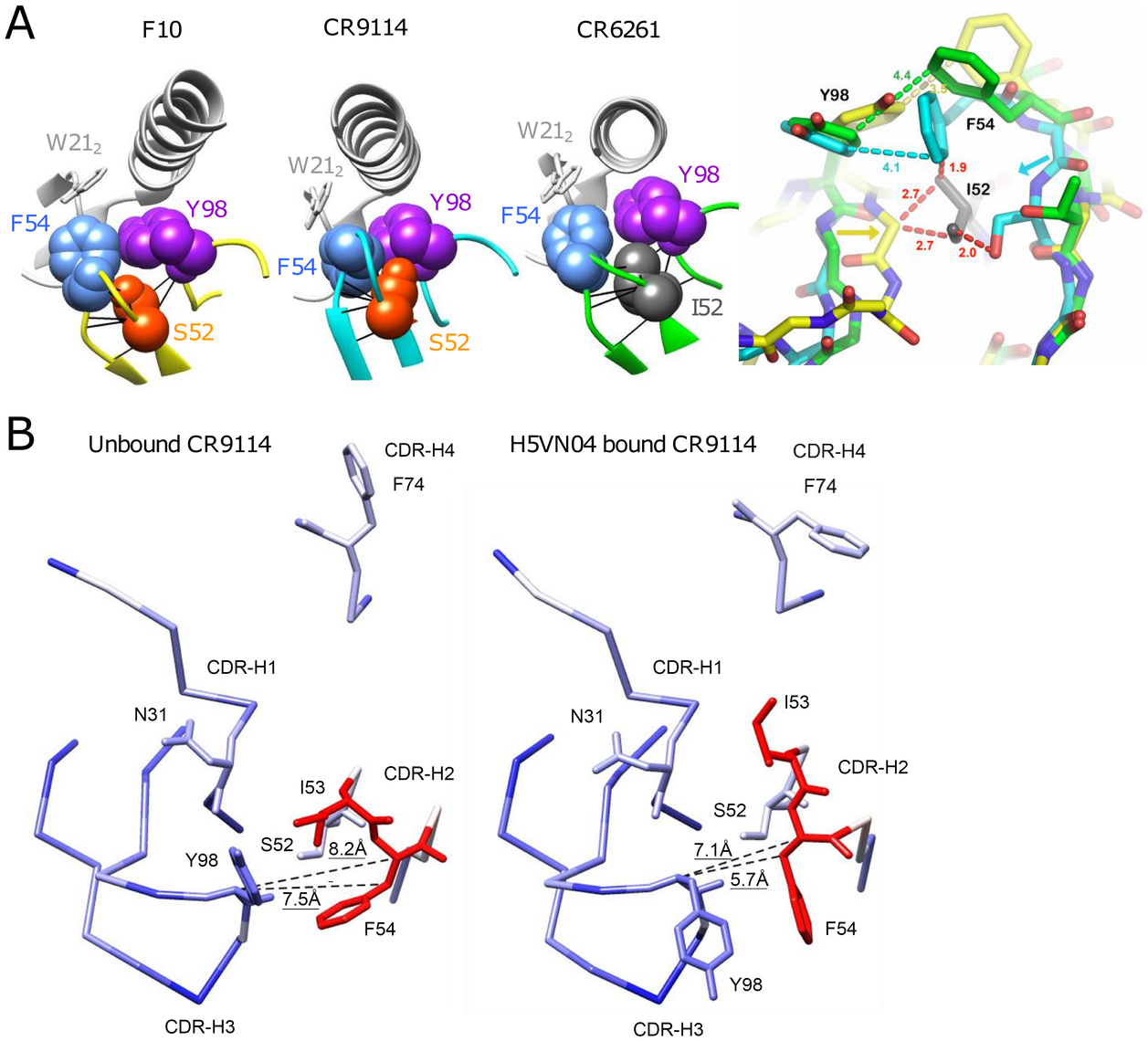 Understanding the structural role of the distinctive CDR-H2 amino acid substitutions in HV1-69-sBnAbs.