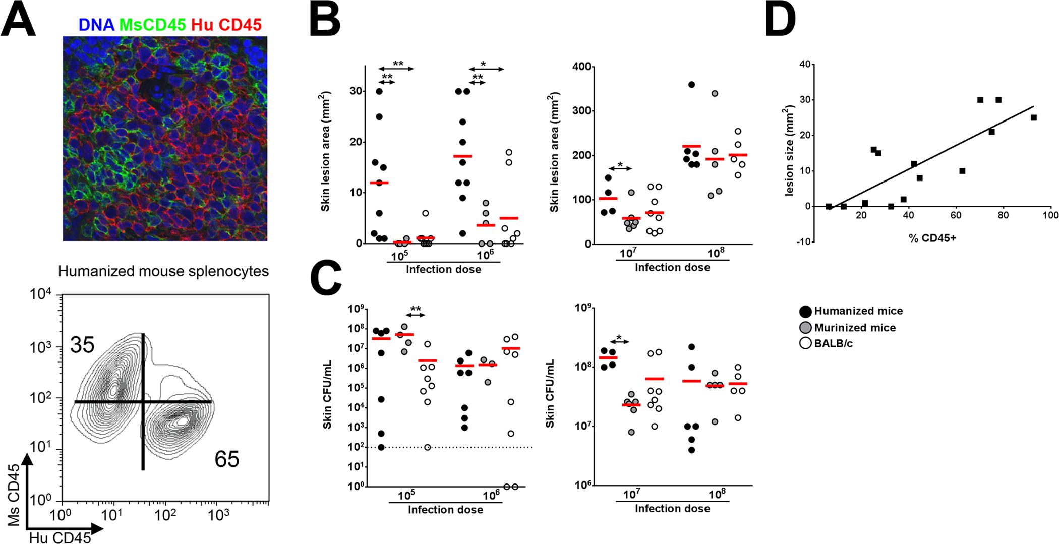 Humanized NSG mice show enhanced susceptibility to <i>S</i>. <i>aureus</i>-induced skin lesions.