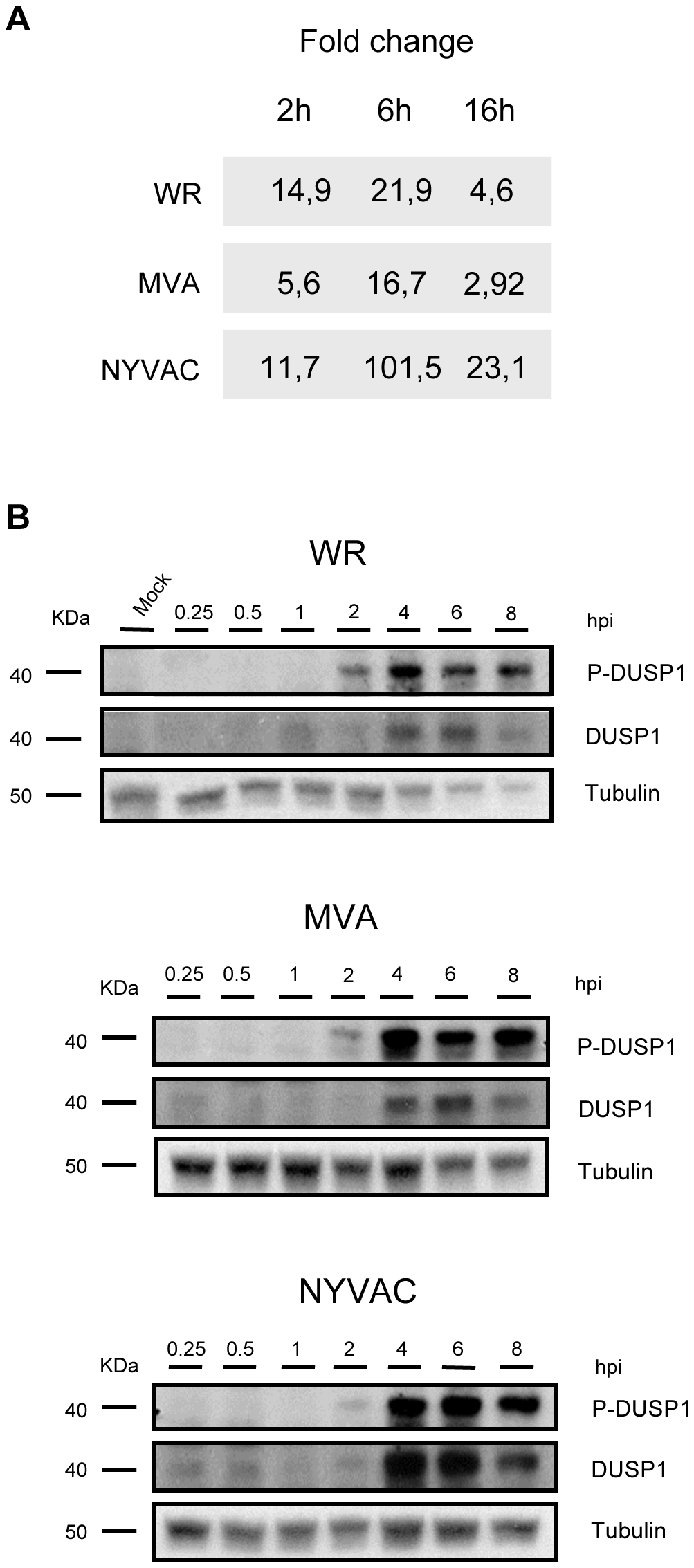 DUSP1 expression is upregulated upon VACV infection.