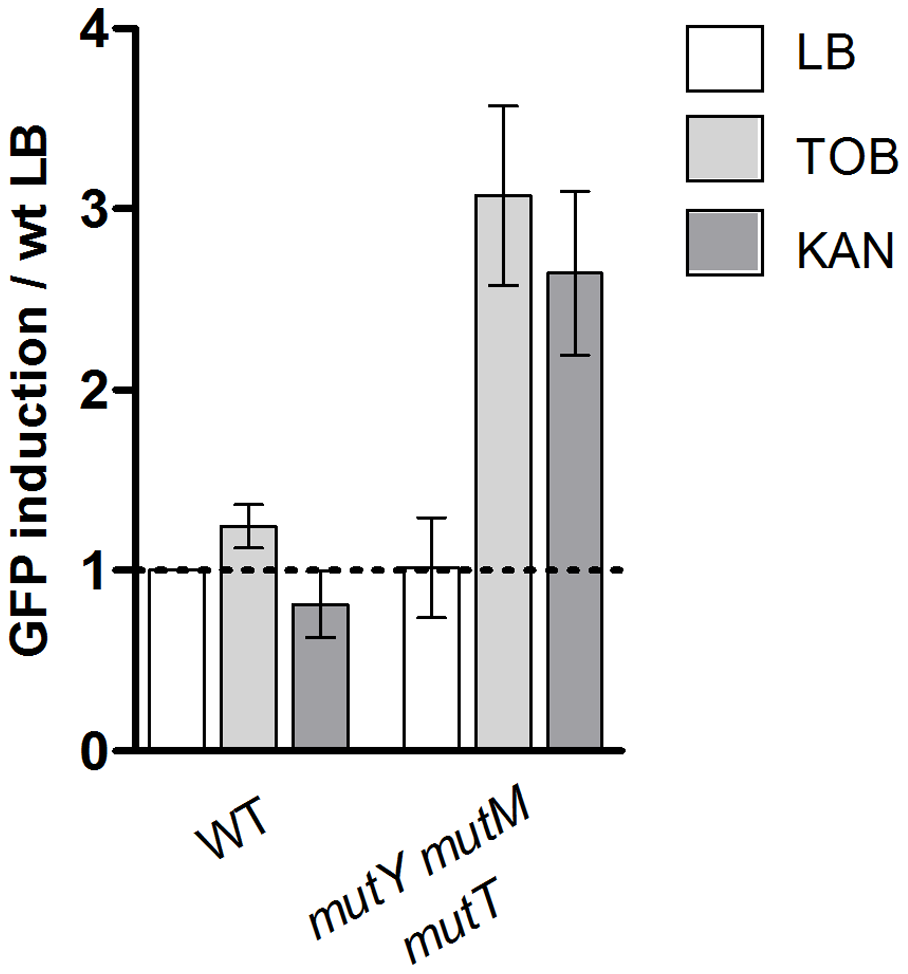 Oxidized guanine incorporation after tobramycin treatment induces SOS in the <i>E.</i>coli base excision repair deficient mutant.
