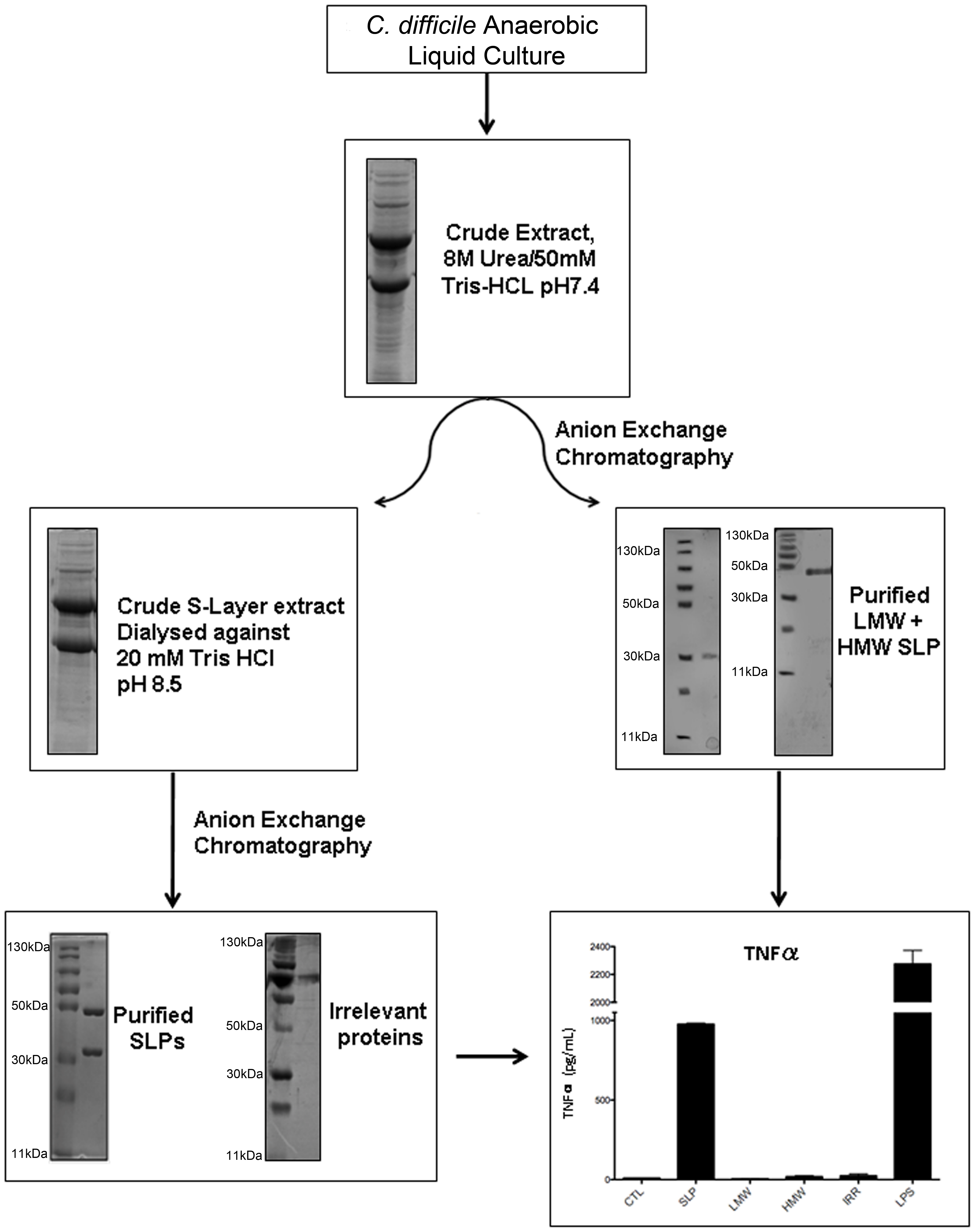 Purification and characterisation of SLPs isolated from <i>C. difficile</i>.