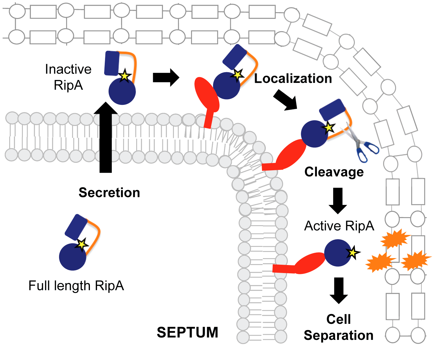 Model for RipA activation through proteolytic processing and protein interactions.