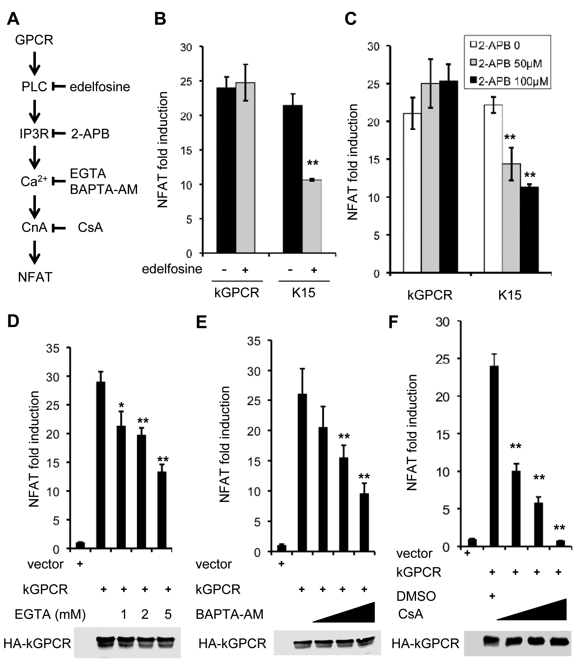 NFAT activation induced by kGPCR is resistant to inhibitors targeting components upstream of ER calcium release.