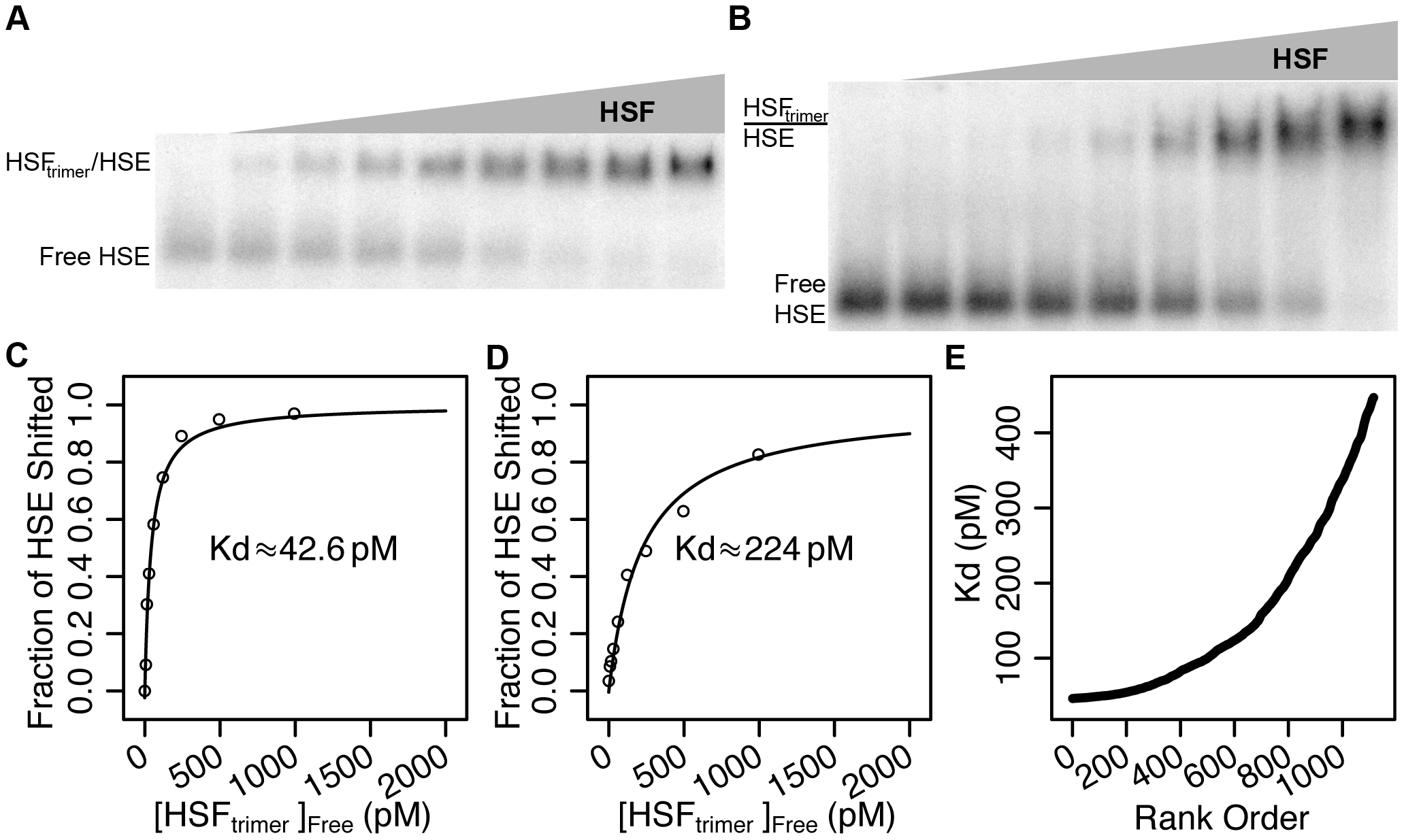 Recombinant HSF binds HSEs with picomolar affinity in vitro.