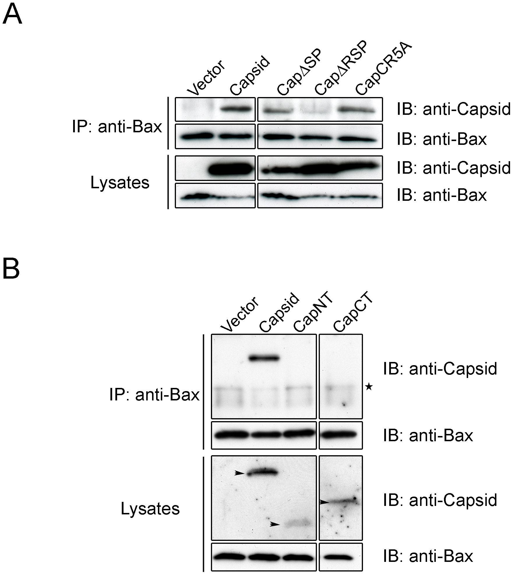 The carboxyl-terminal R motif in capsid protein is required for binding to Bax.