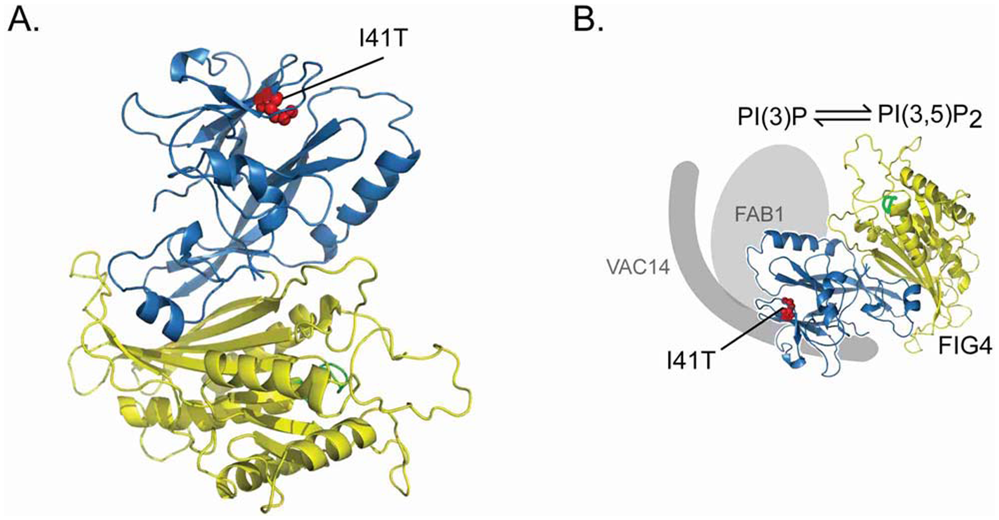 Location of the <i>FIG4</i>-I41T mutation and effect on protein interaction.