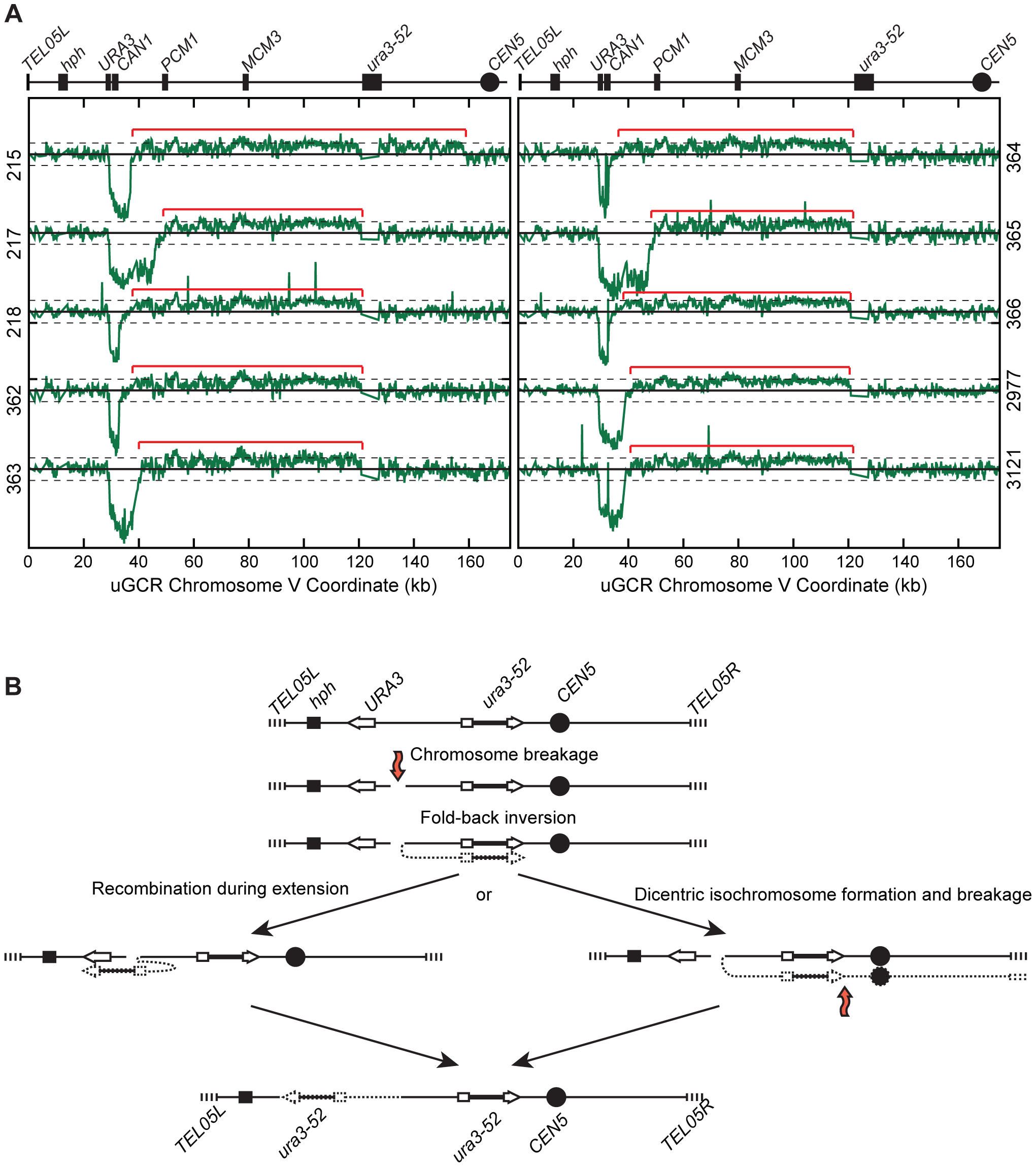 <i>hph</i>+ GCRs associated with chrV larger than wild-type contain duplicated chrV sequences.