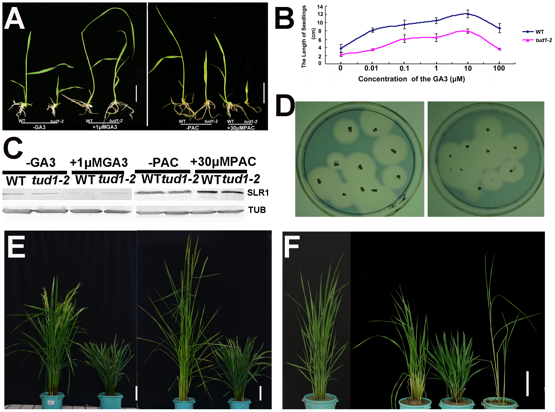 <i>tud1-2</i> is unlikely a GA-related mutant.