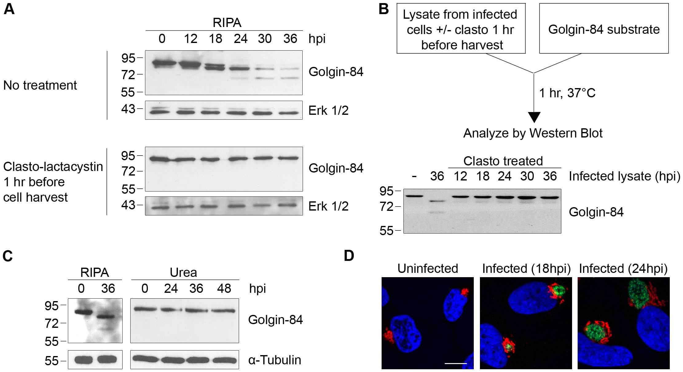 Golgin-84 cleavage does not occur in <i>Chlamydia</i>-infected cells when CPAF is inhibited during cell processing.