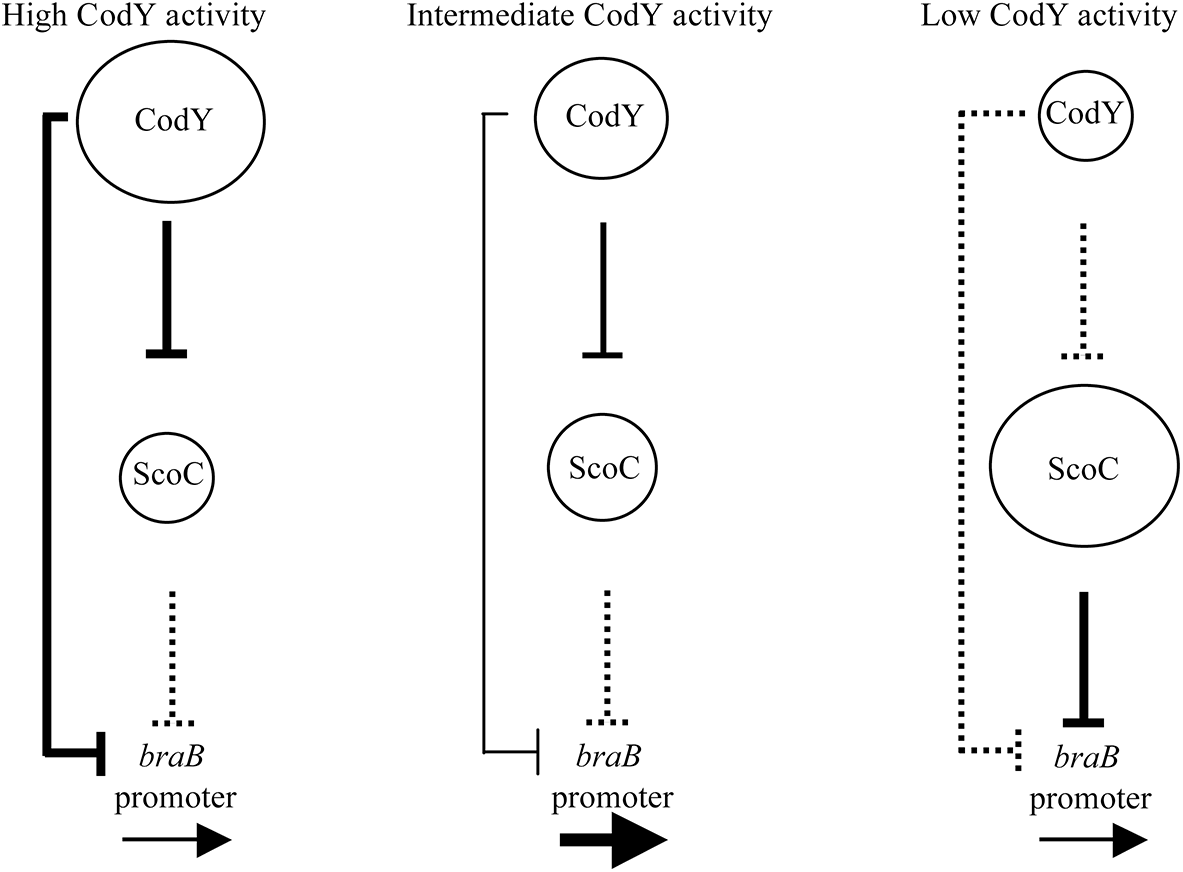 A model of regulation of the <i>braB</i> promoter by the combined actions of CodY and ScoC.