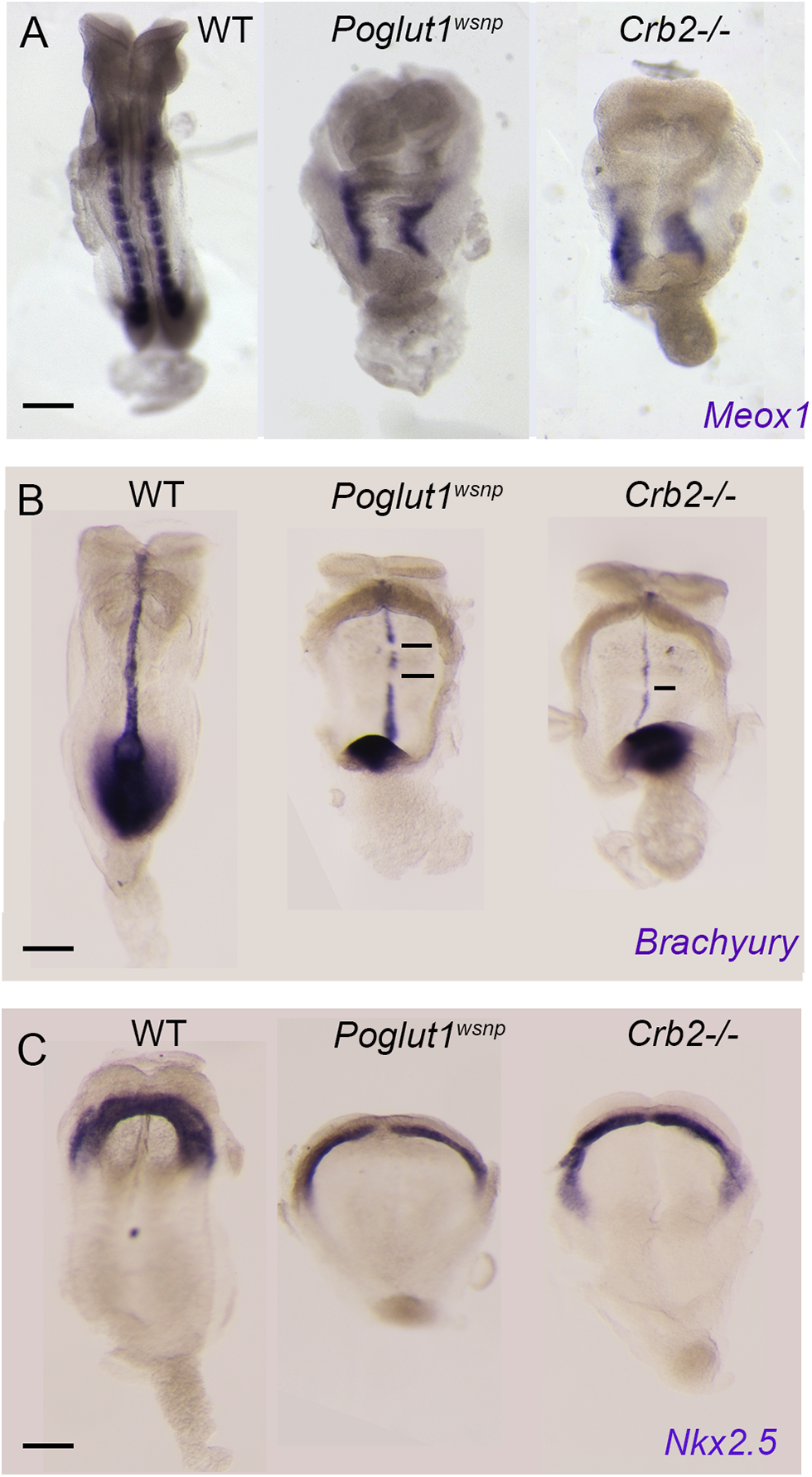 Indistinguishable phenotypes of early <i>Poglut1</i><sup><i>wsnp</i></sup> and <i>Crumbs2</i> mutant embryos.