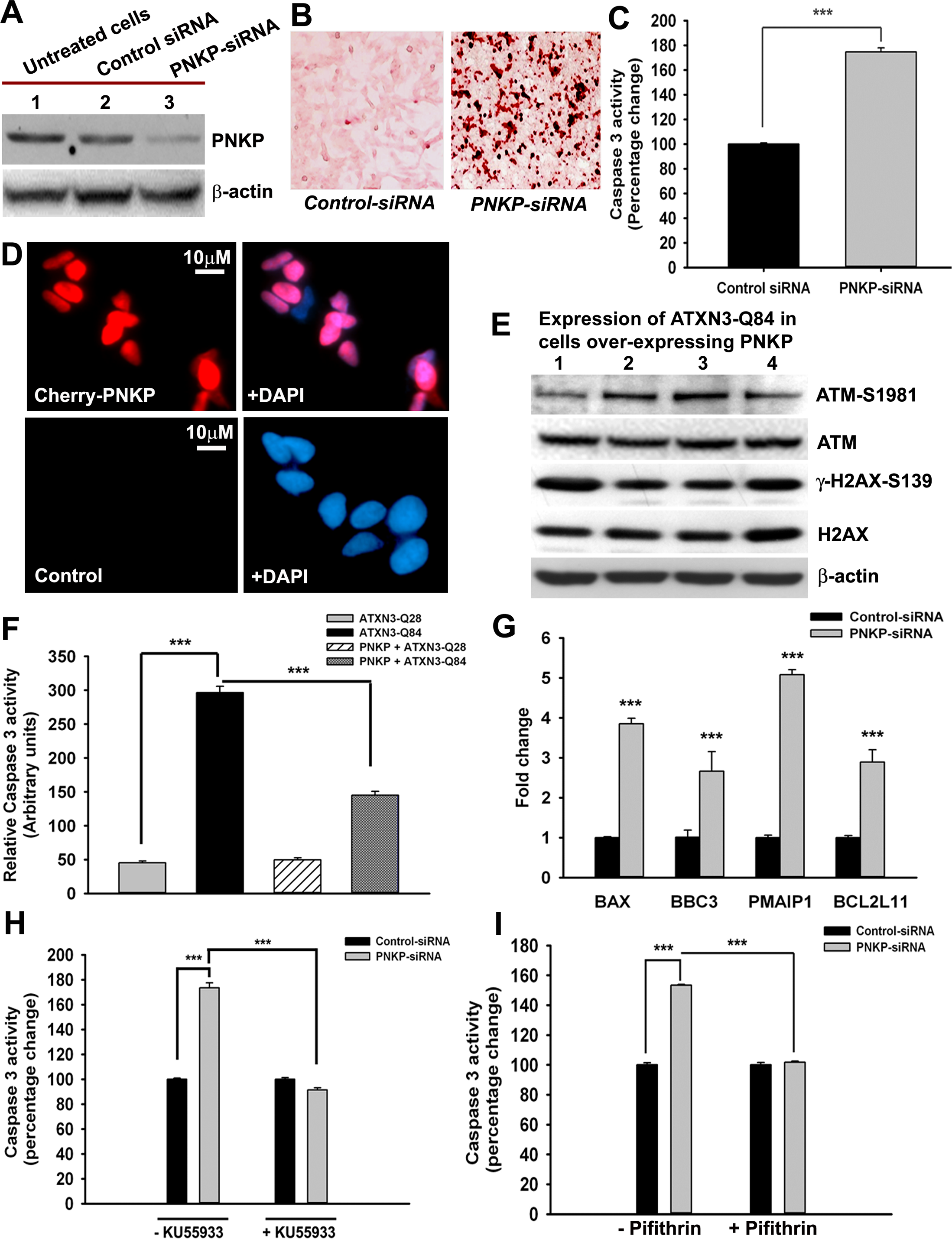 The mutant ATXN3-induced apoptotic pathway is rescued by PNKP-overexpression or inhibition of ATM and p53.