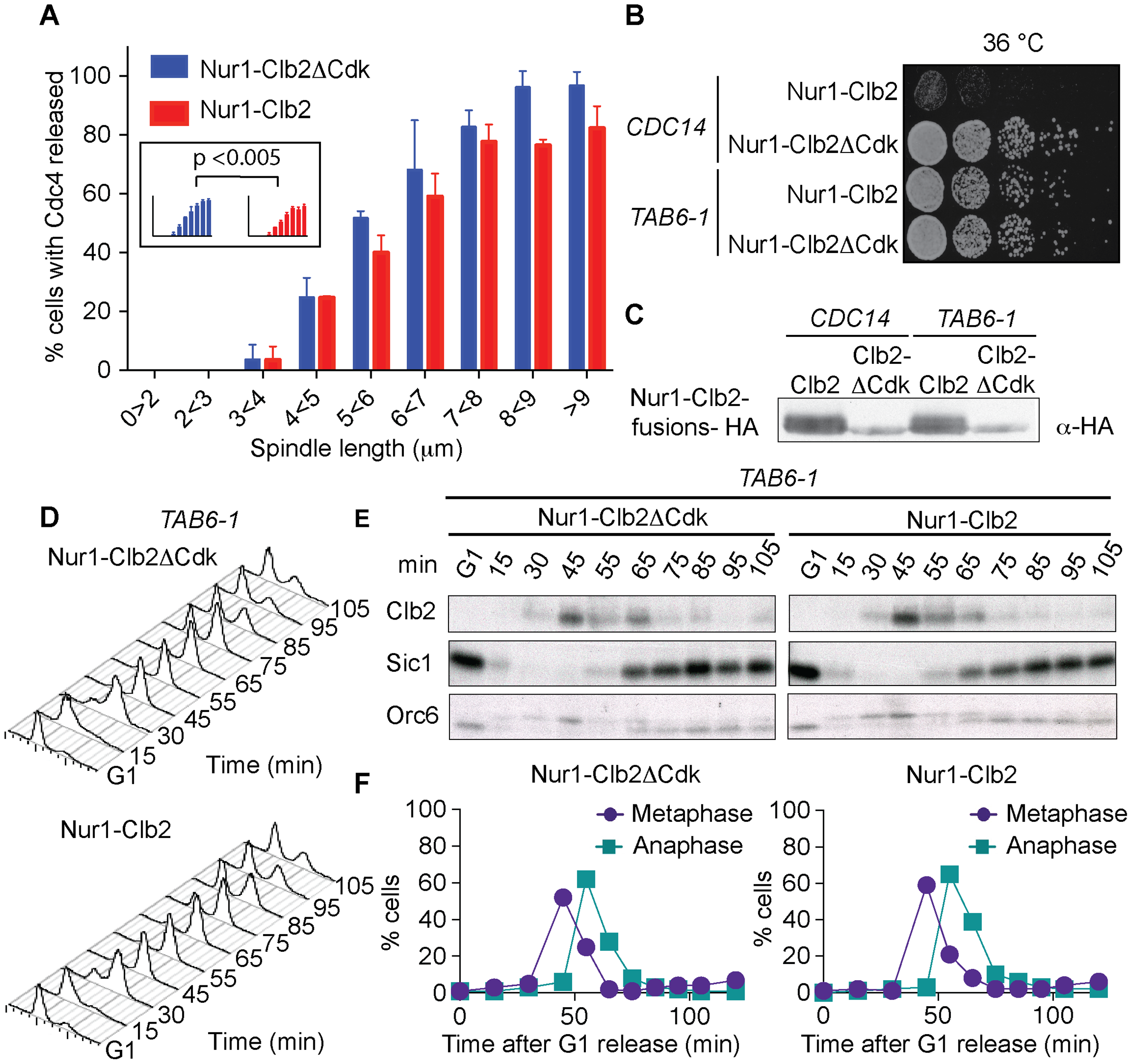 Nur1-Clb2 delays Cdc14 release.