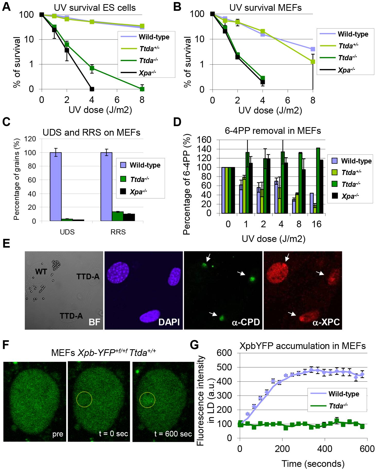 Repair capacity of <i>Ttda<sup>−/−</sup></i> cells.