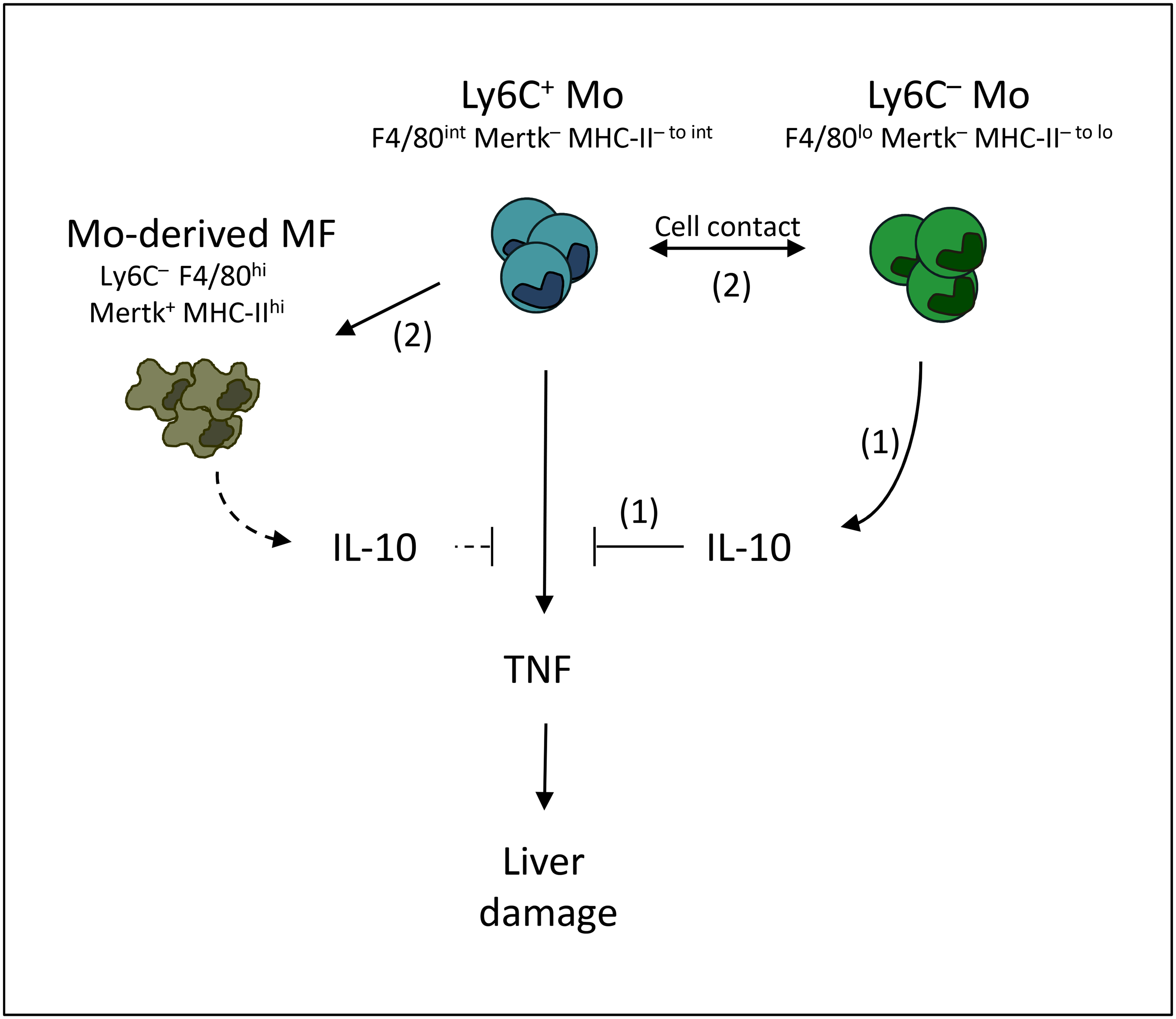 Overview of the interactions between Ly6C+ monocytes, Ly6C- monocytes and macrophages contributing to trypanotolerance.