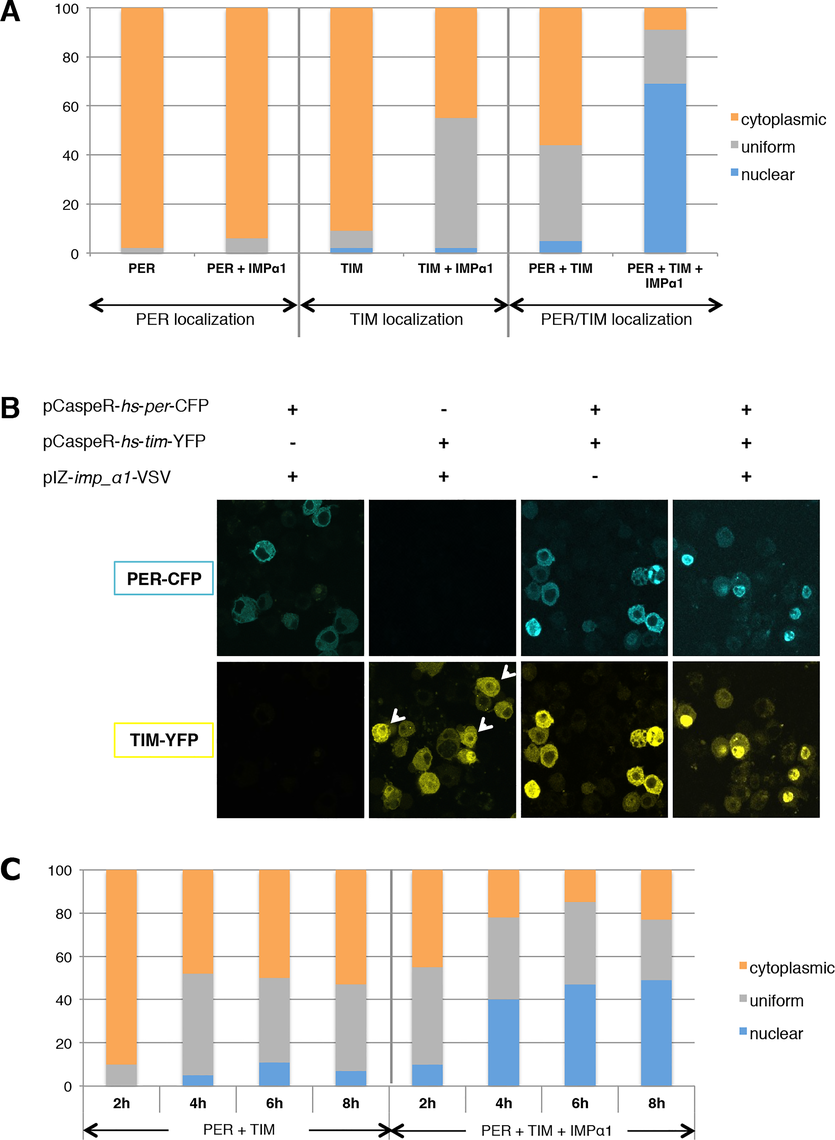 IMPα1 overexpression increases PER/TIM nuclear translocation in S2 cells.