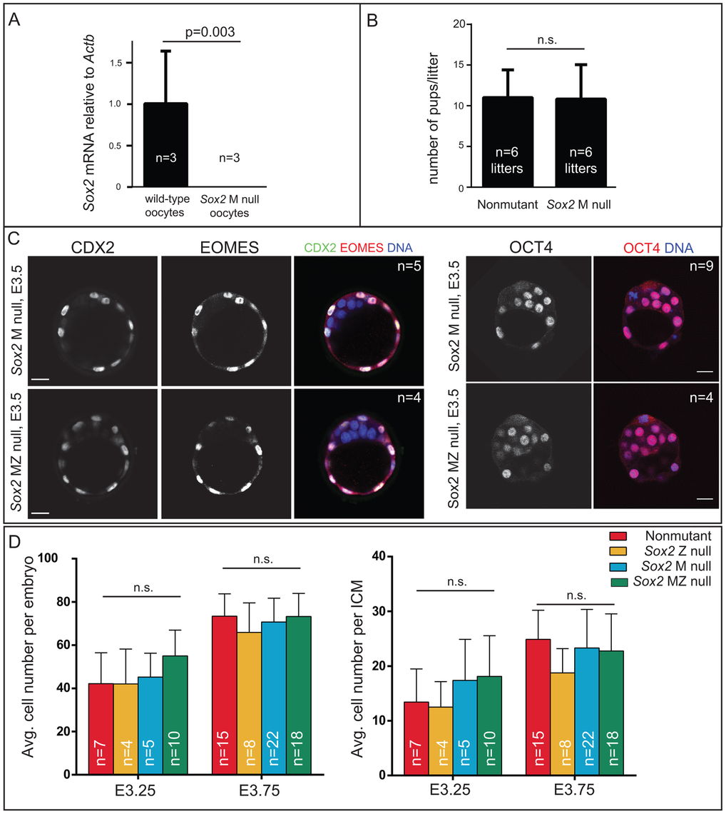 <i>Sox2</i> is not required for the first lineage decision: segregation of ICM and TE cell types.