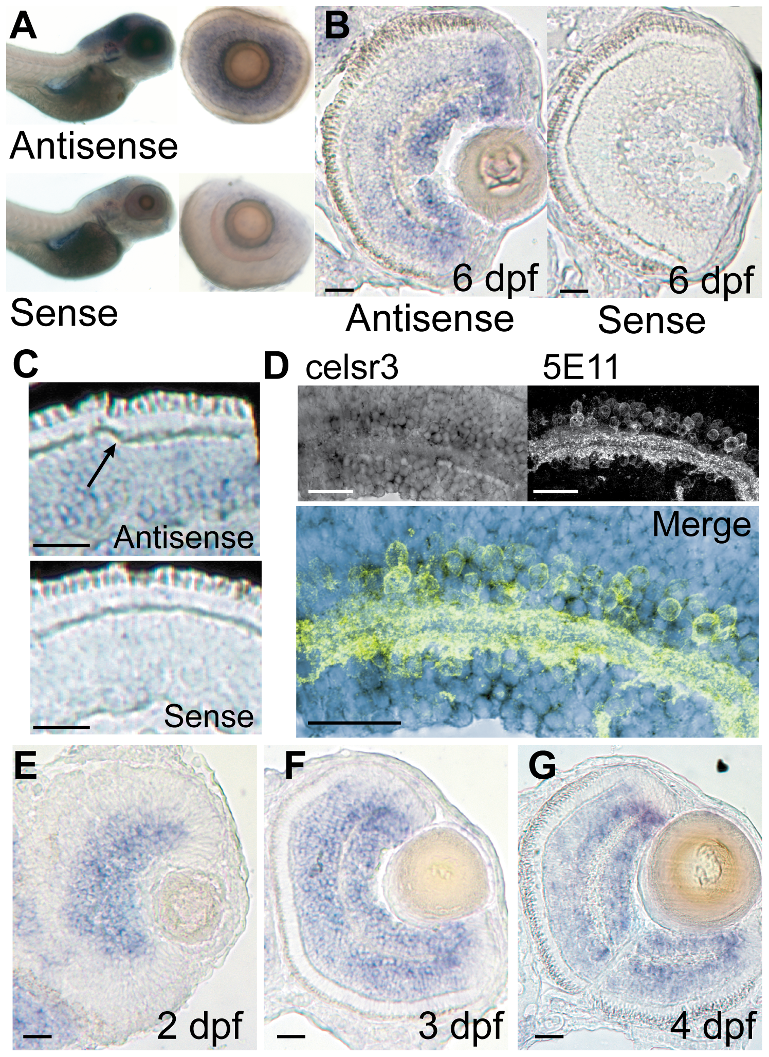 <i>celsr3</i> is abundant within amacrine and ganglion cell layers of the retina.