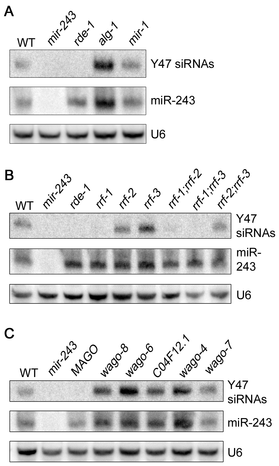 Mir-243 triggers a full endo-RNAi reaction on the Y47H10A.5 locus.
