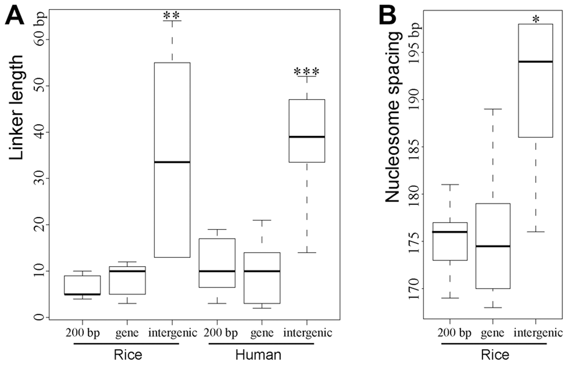Boxplots of estimated lengths of linkers (A) and spacing (B) between the phased nucleosomes mapped close to DHSs.