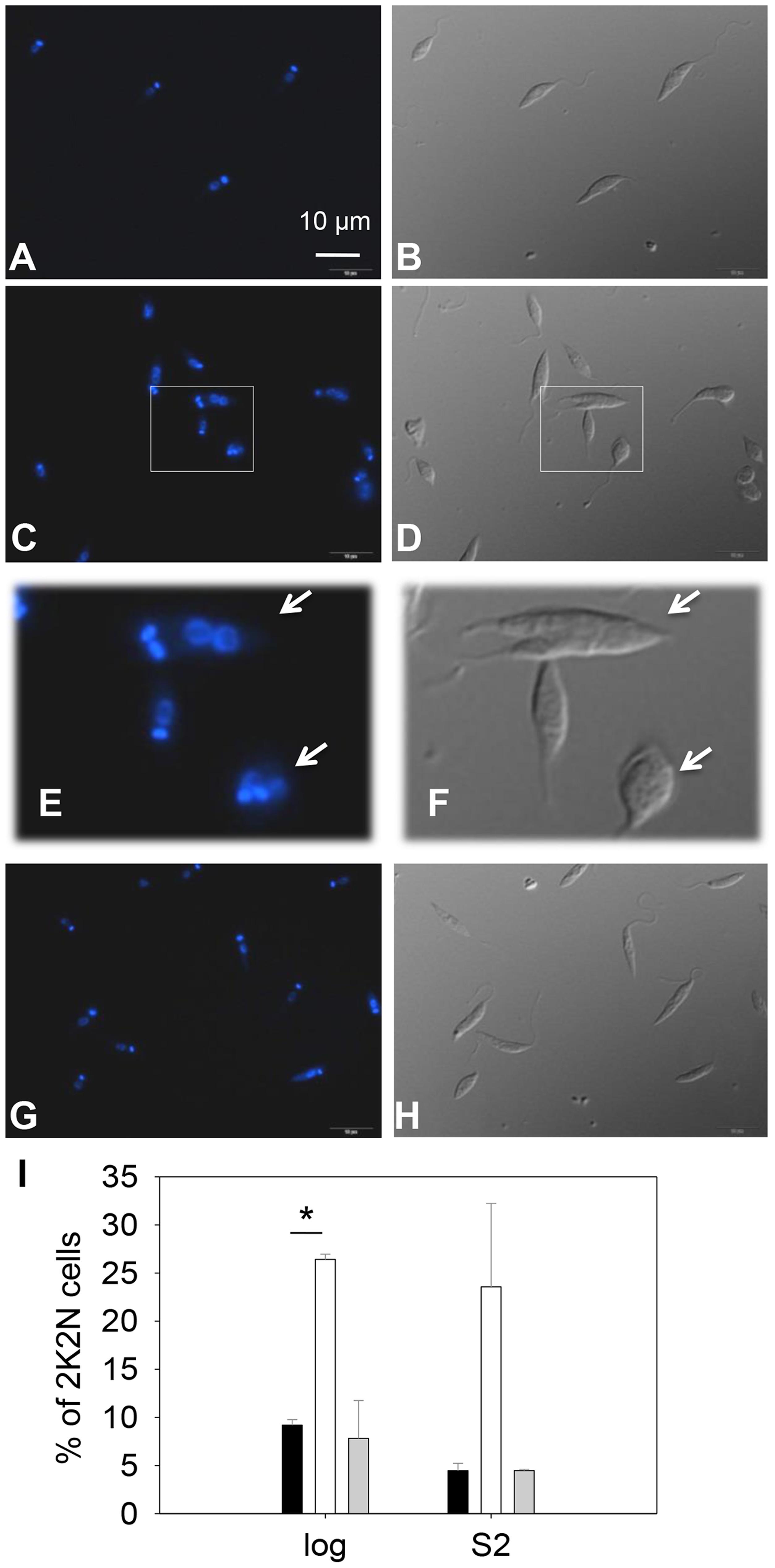<i>C14dm</i><sup>−</sup> promastigotes exhibit cytokinesis defects.