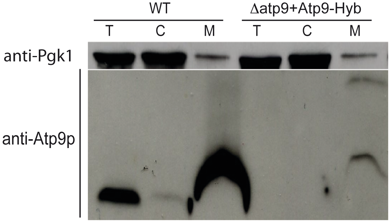 Reducing the hydrophobicity of the first transmembrane segment of yeast Atp9p improves its import into mitochondria.
