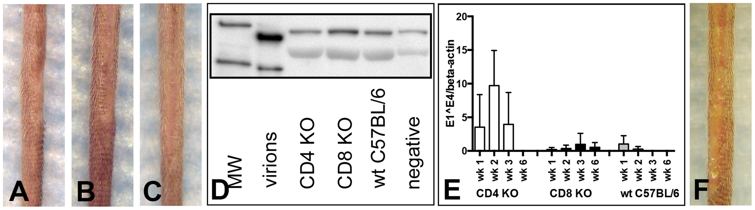 CD4- and CD8-deficient C57BL/6 mice differ in MusPV1 gene transcription early after infecton.