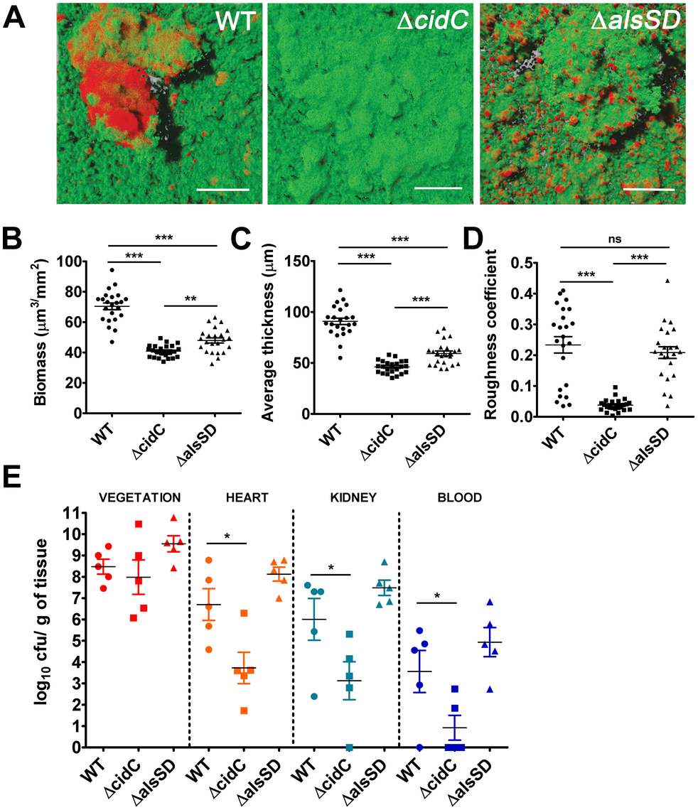 Staphylococcal cell death affects biofilm development and pathogenesis.