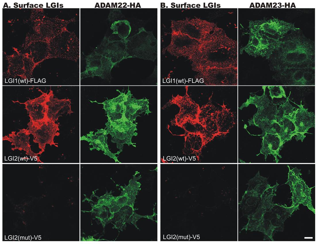 Wild-type (wt) LGI2, like LGI1, binds to ADAM22 and ADAM23 on the cell surface.