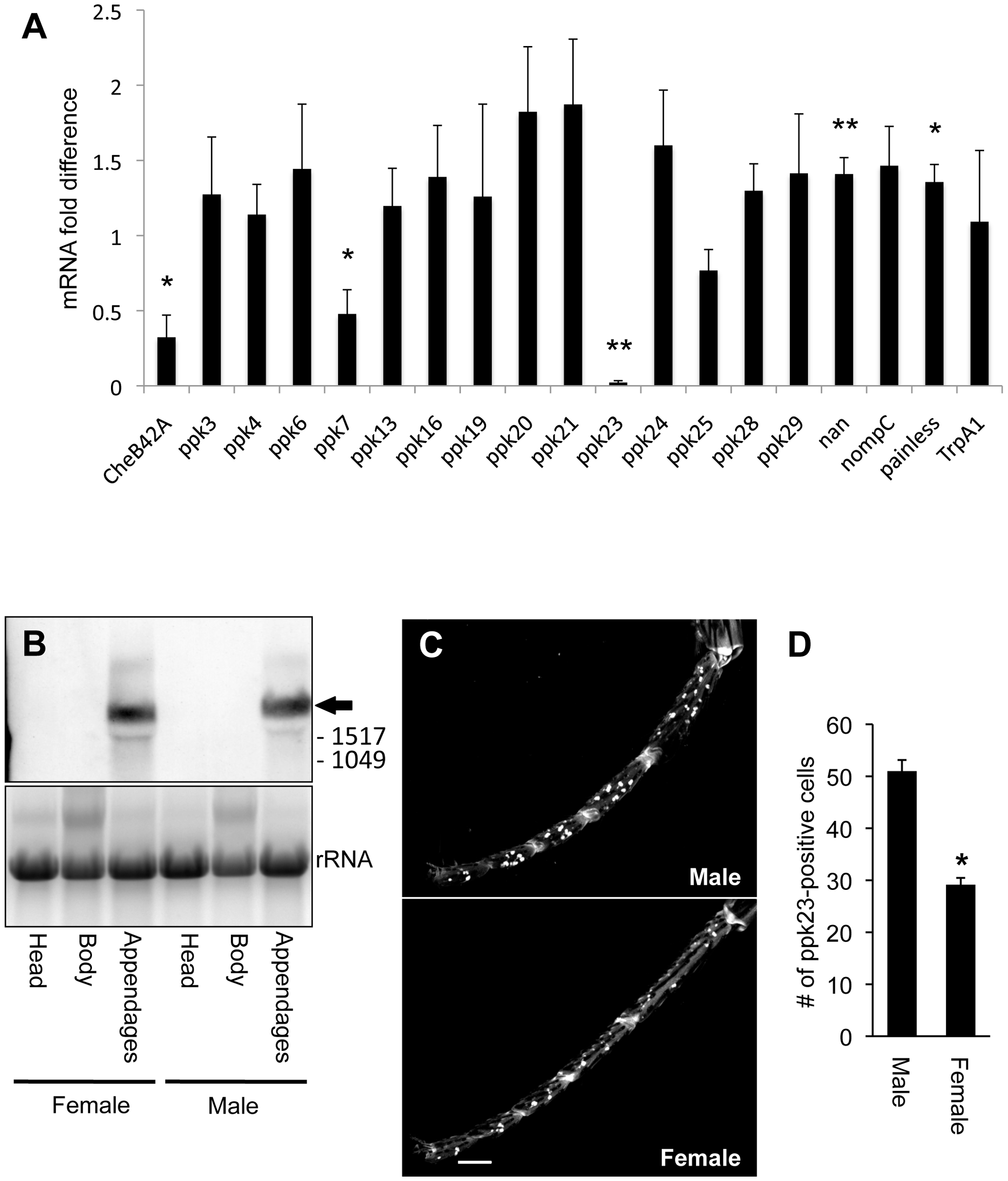 <i>ppk23</i> expression is reduced in appendages of the <i>Poxn</i> mutant.