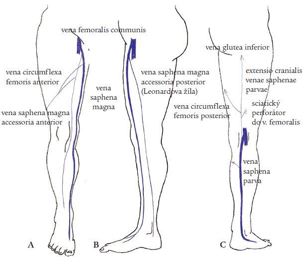 Anatomie povrchových žil na dolní končetině.