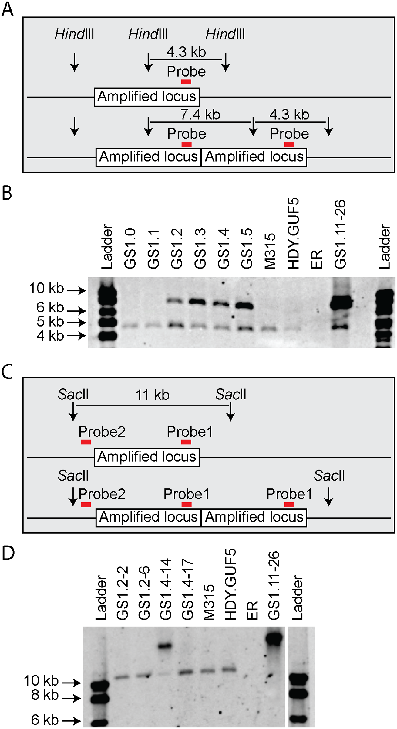 Evaluation of the amplified <i>XylA</i>-locus by Southern blot analysis.