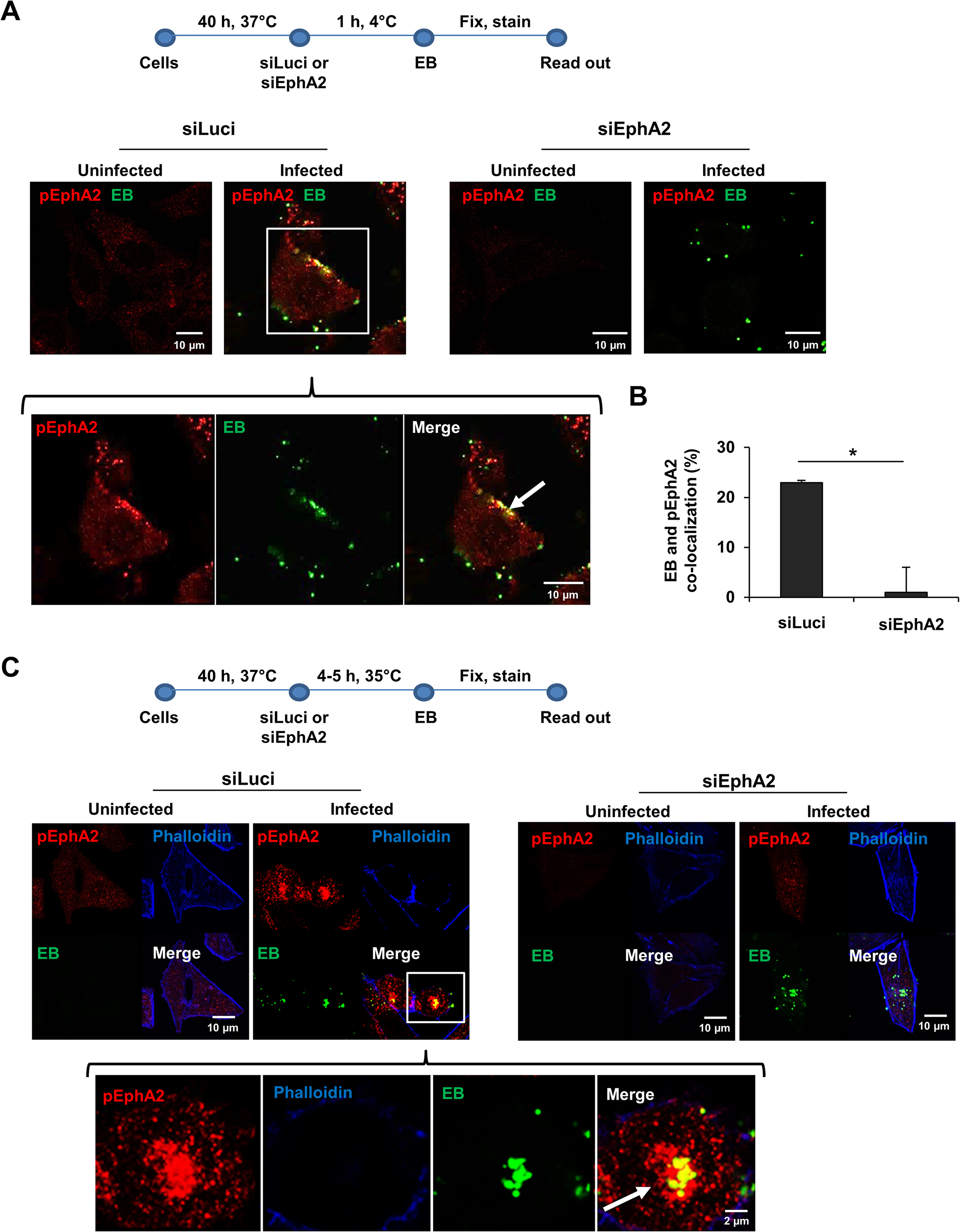 EphA2 activated upon early infection co-localizes with <i>Ctr</i>.