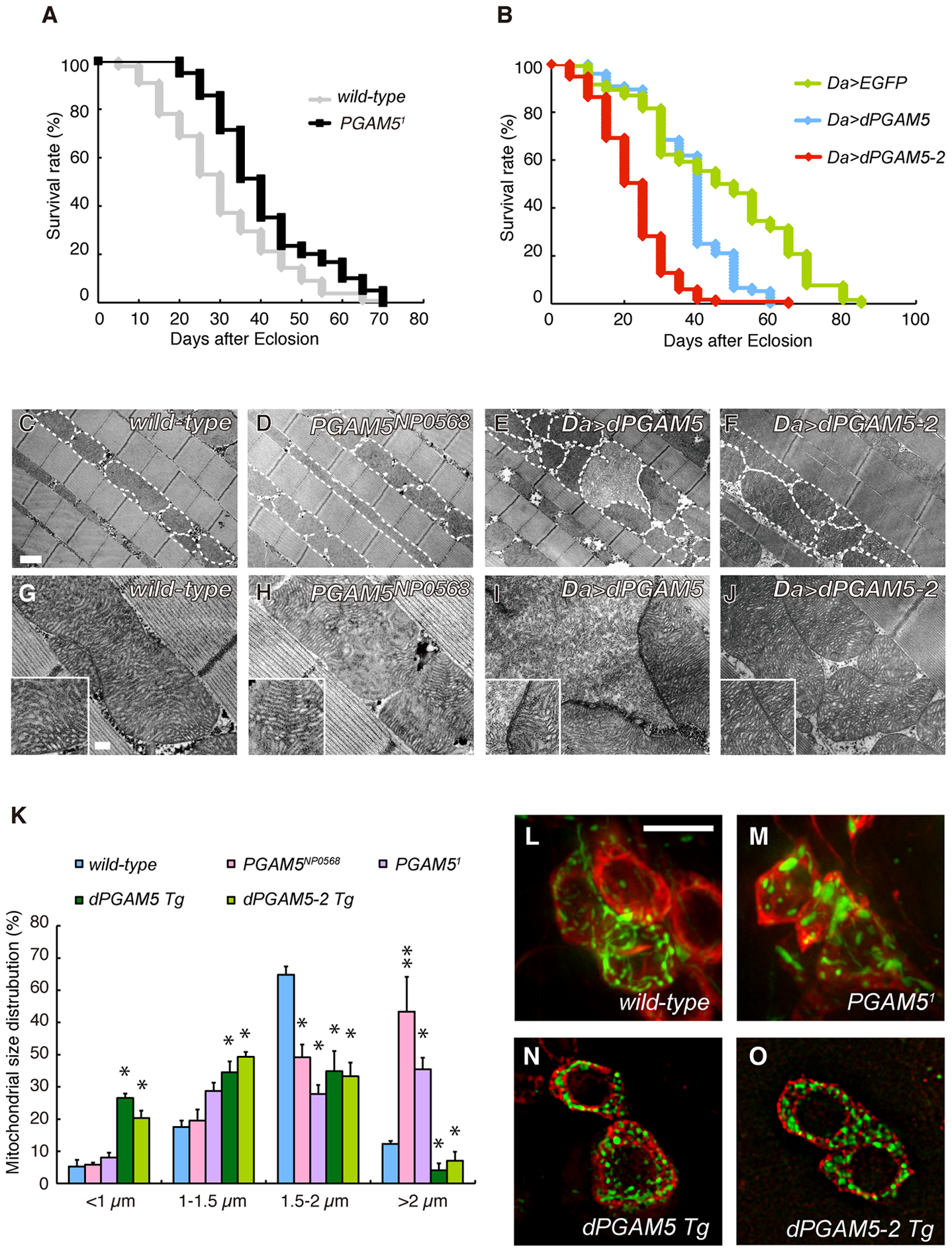 dPGAM5 is dispensable for normal development, but affects lifespan in <i>Drosophila</i>.