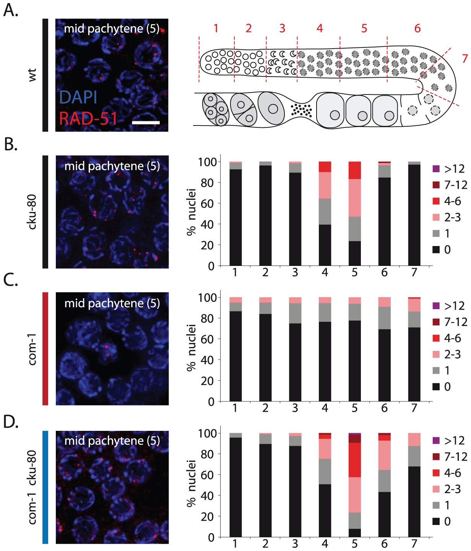 Loss of <i>cku-80</i> restores RAD-51 recruitment to meiotic DSBs in <i>com-1</i> mutant germlines.
