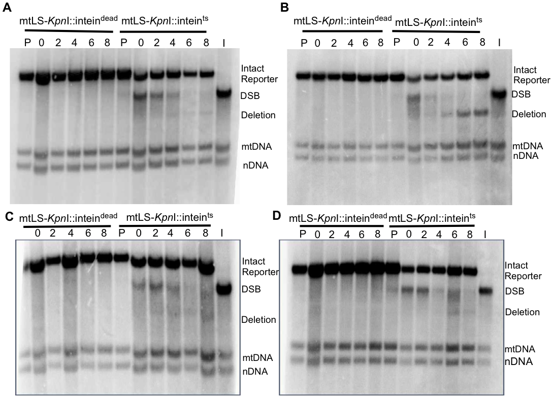 Repair of induced mitochondrial DSBs in HR single mutants.