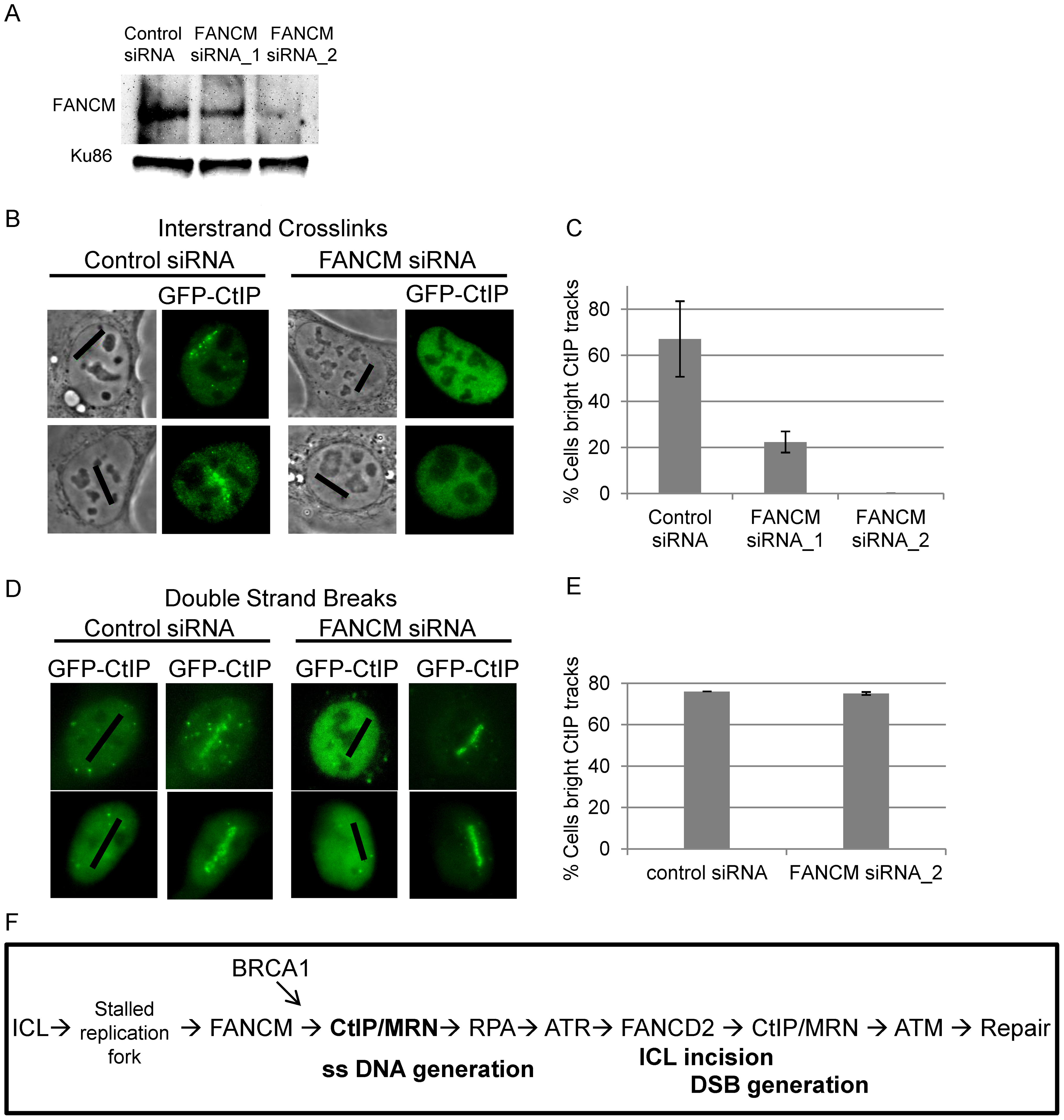 FANCM depletion reduces CtIP accumulation at ICLs but not at DSBs.