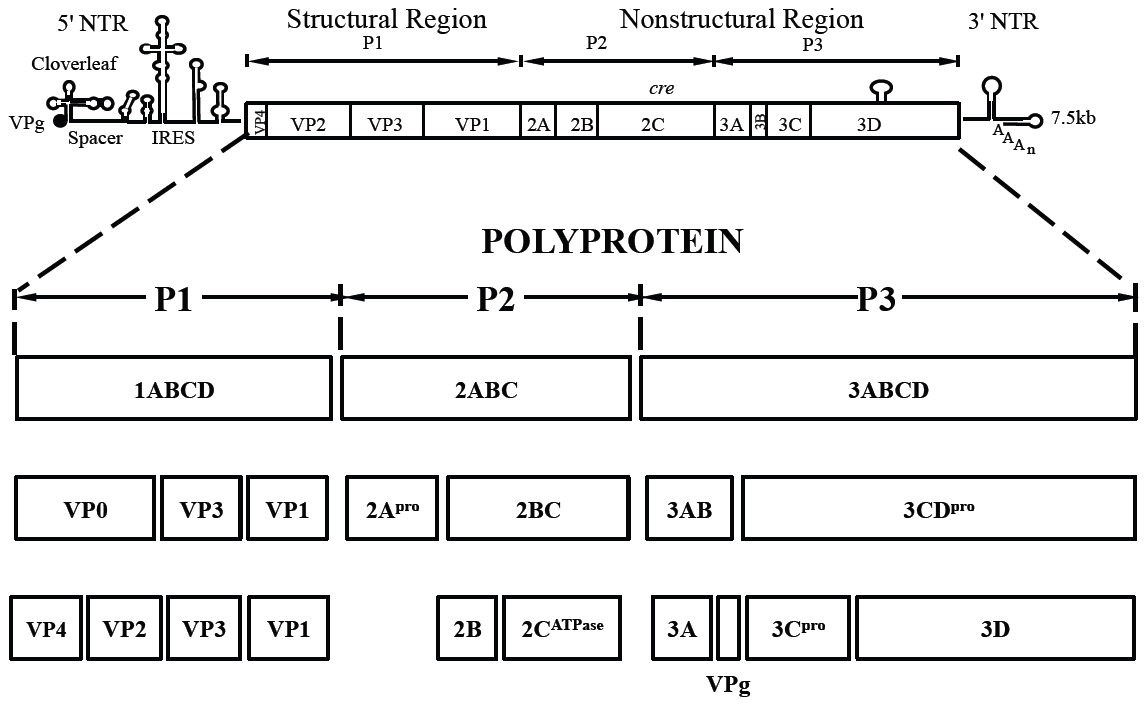Genome structure of PV1 RNA and polyprotein processing.