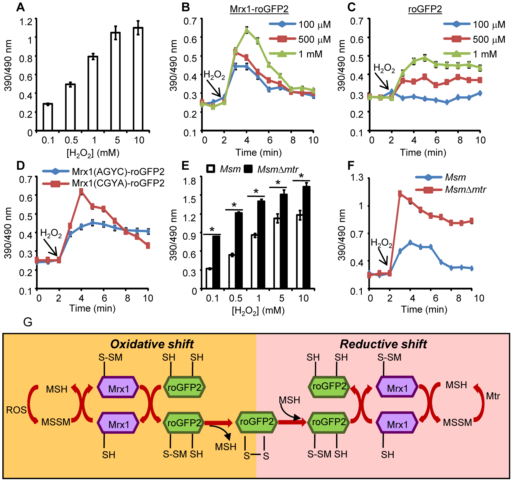 Coupling of Mrx1 with roGFP2 facilitates detection of transient redox changes in mycobacteria.