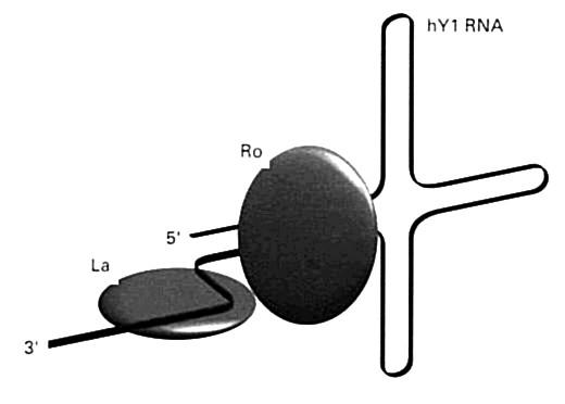 Antigény Ro a La na molekule RNA hY1 (vysvetlenie v texte) Malé RNA (hY1 hY5) kooperujú s polymerázou RNA-III pri transkripcii mRNA. Nachádzajú sa v cytoplazme, niektoré aj v jadre a spájajú sa s proteínmi SS-A/Ro a SS-B/La Fig. 6. Ro and La antigens on the RNA hY1 molecule (explained below). Small RNAs (hY1 hY5) cooperate with RNA-III polymerase in mRNA transcription. They are found in the cytoplasm, some also in the nucleus, and bind to SS-A/Ro and SS-B/La proteins.