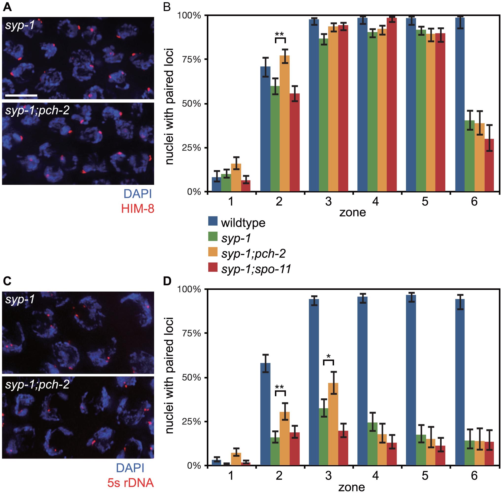 Mutation of <i>pch-2</i> suppresses pairing defects in <i>syp-1</i> mutants.