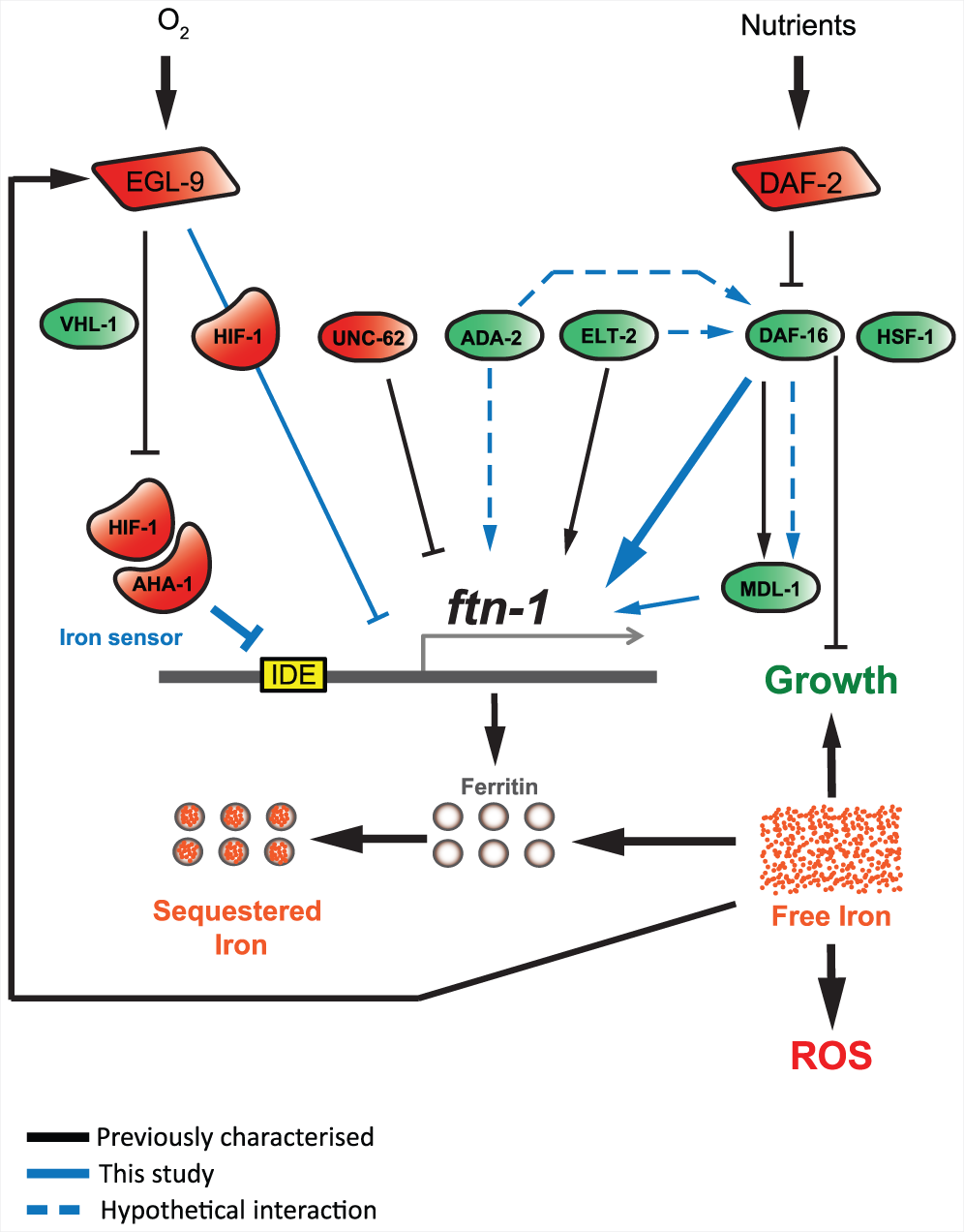 <i>ftn-1</i> expression is regulated by both the insulin/IGF-1 and hypoxia signaling pathways.