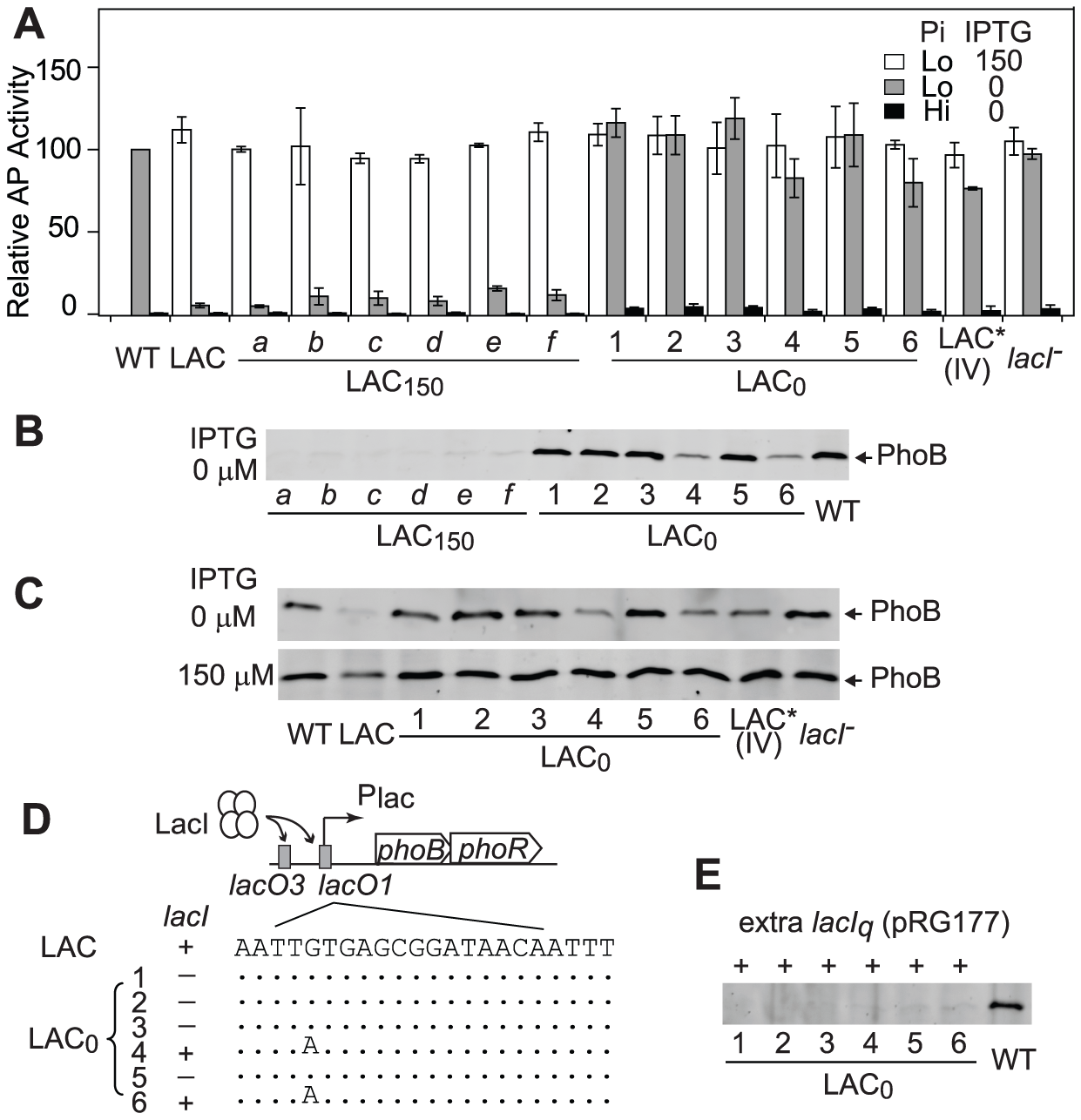 Adapted LAC<sub>0</sub> cells carry promoter regulation mutations for optimal expression of PhoB.