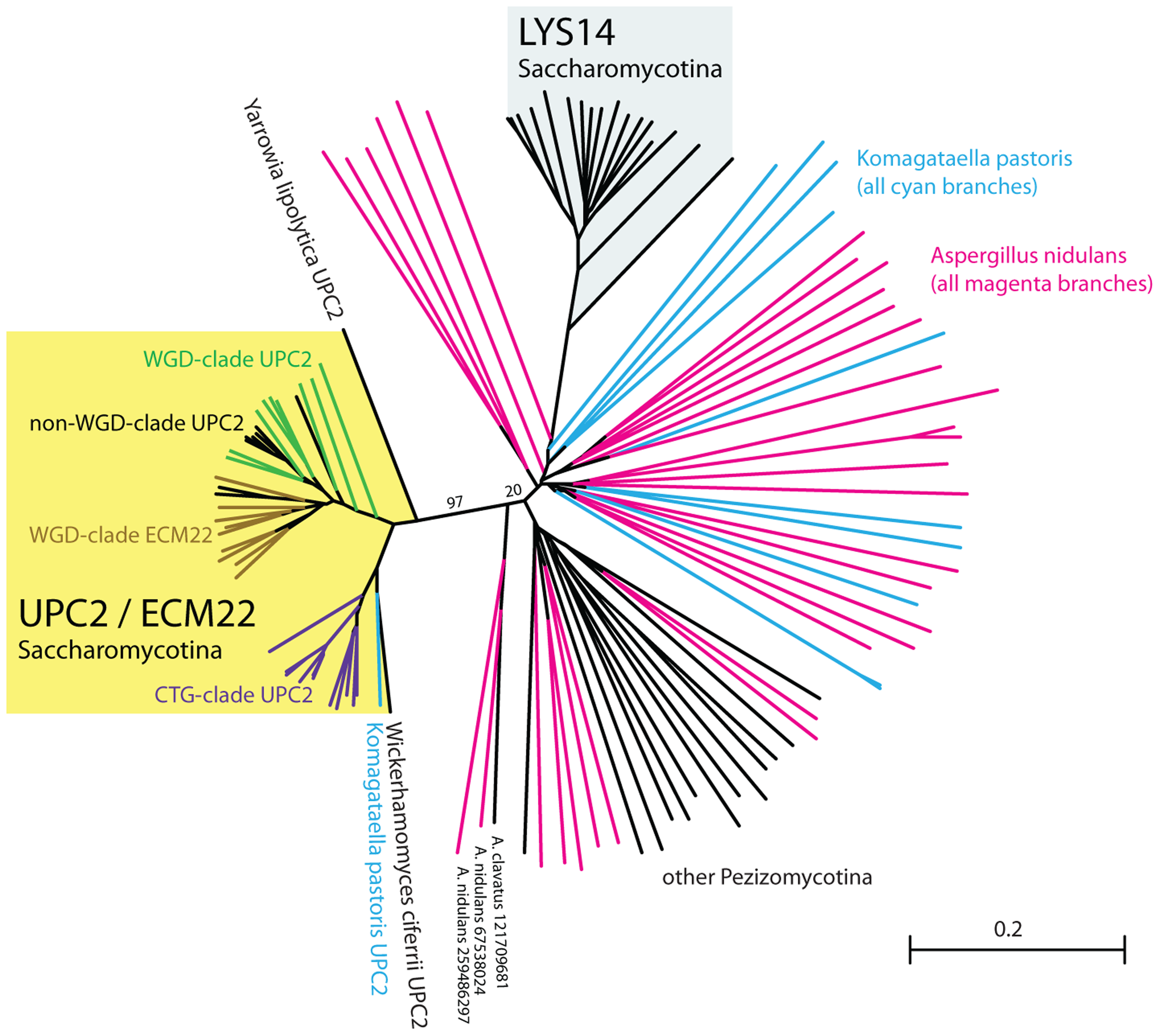 Upc2 has no clear orthologs outside the Saccharomycotina.