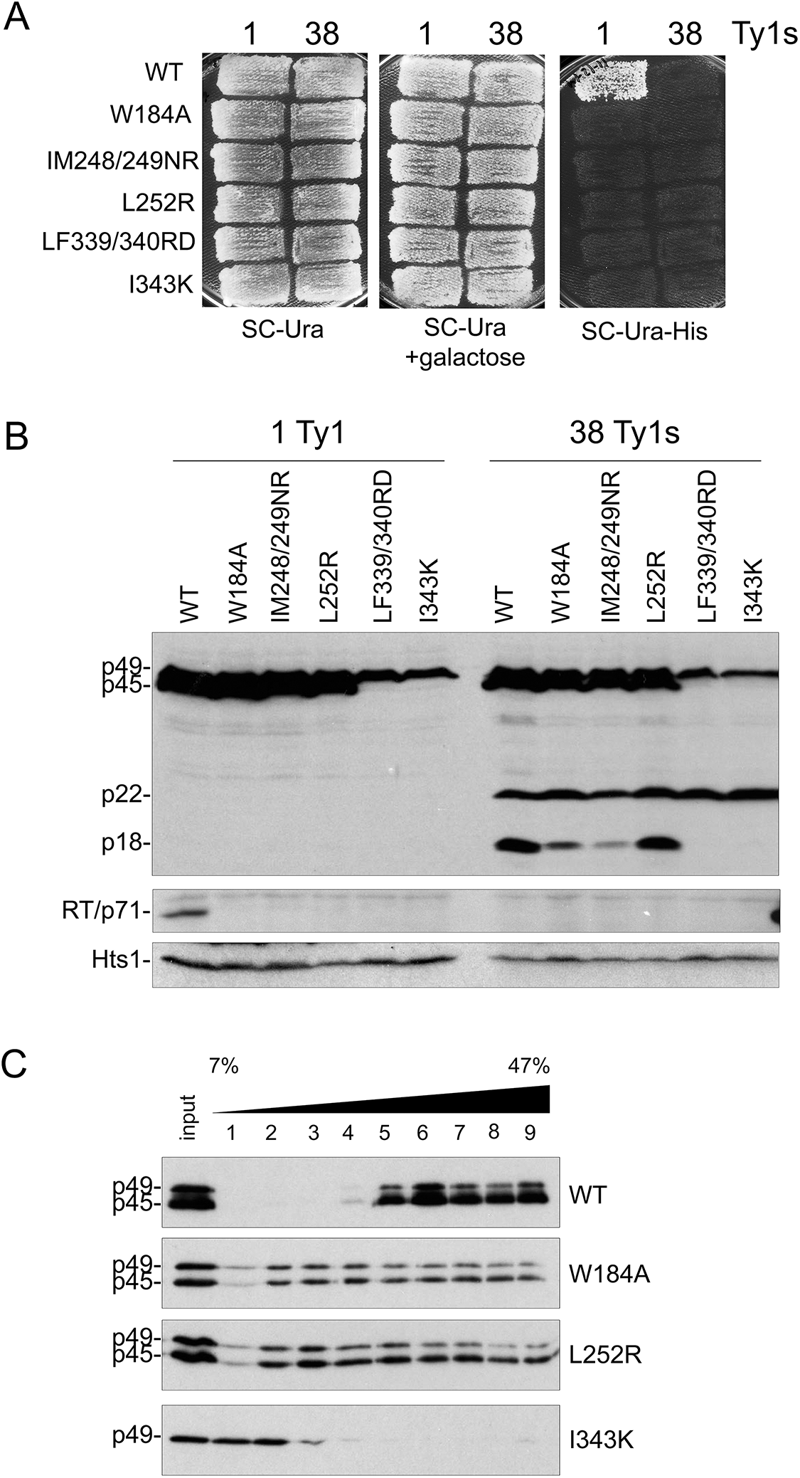 Alterations in Gag helical domains disrupt transposition and Ty1 protein cleavage.