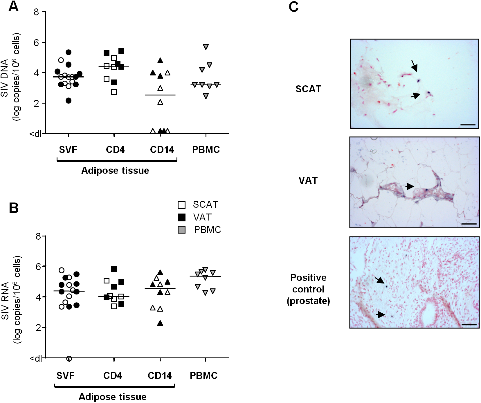Quantification of SIV DNA and RNA in adipose tissue cells.
