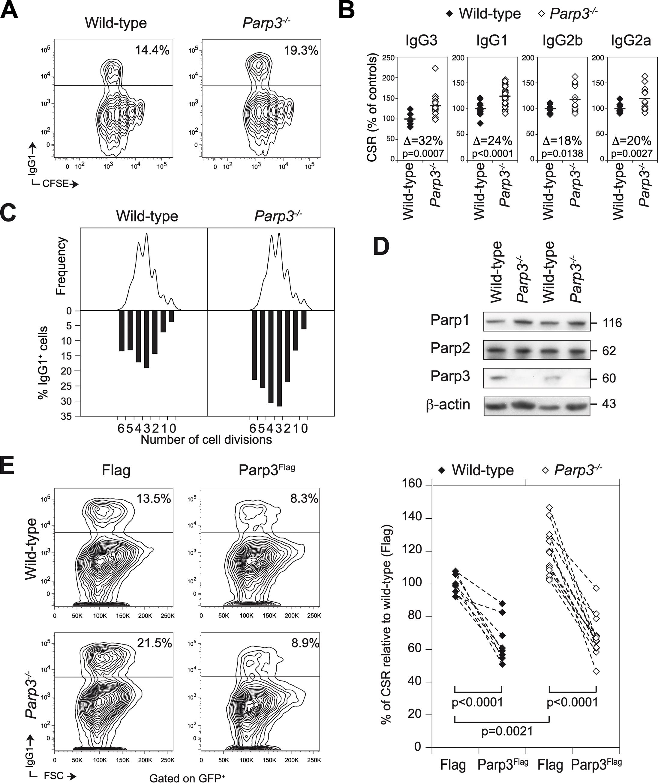 Parp3 is a negative regulator of immunoglobulin class switch recombination.