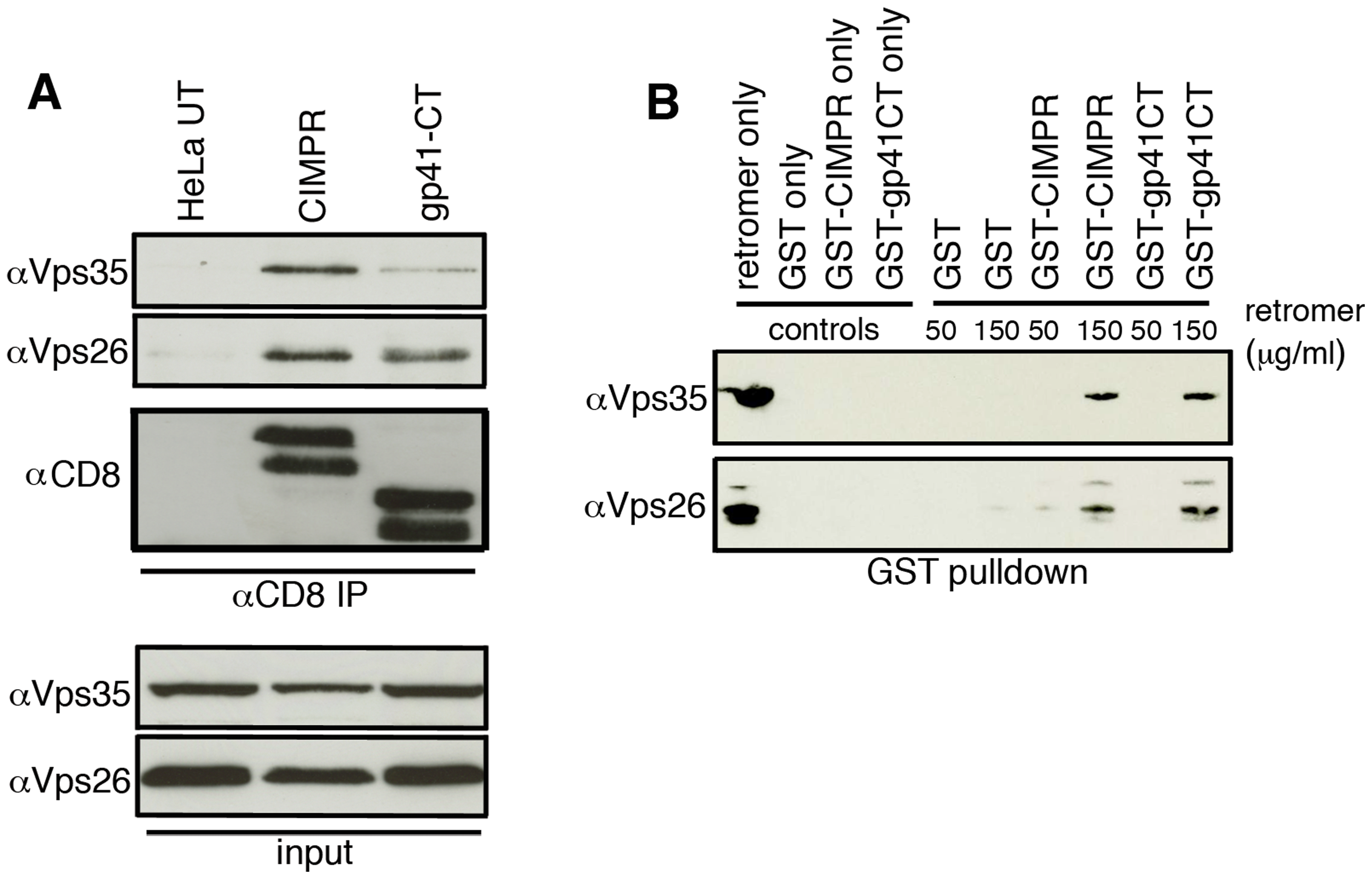 The gp41 cytoplasmic tail binds directly to retromer.