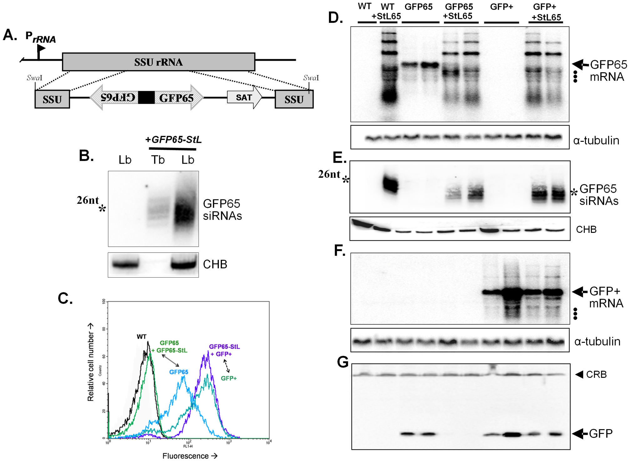 Tests of RNAi pathway activity in <i>L. braziliensis</i> using GFP reporters.