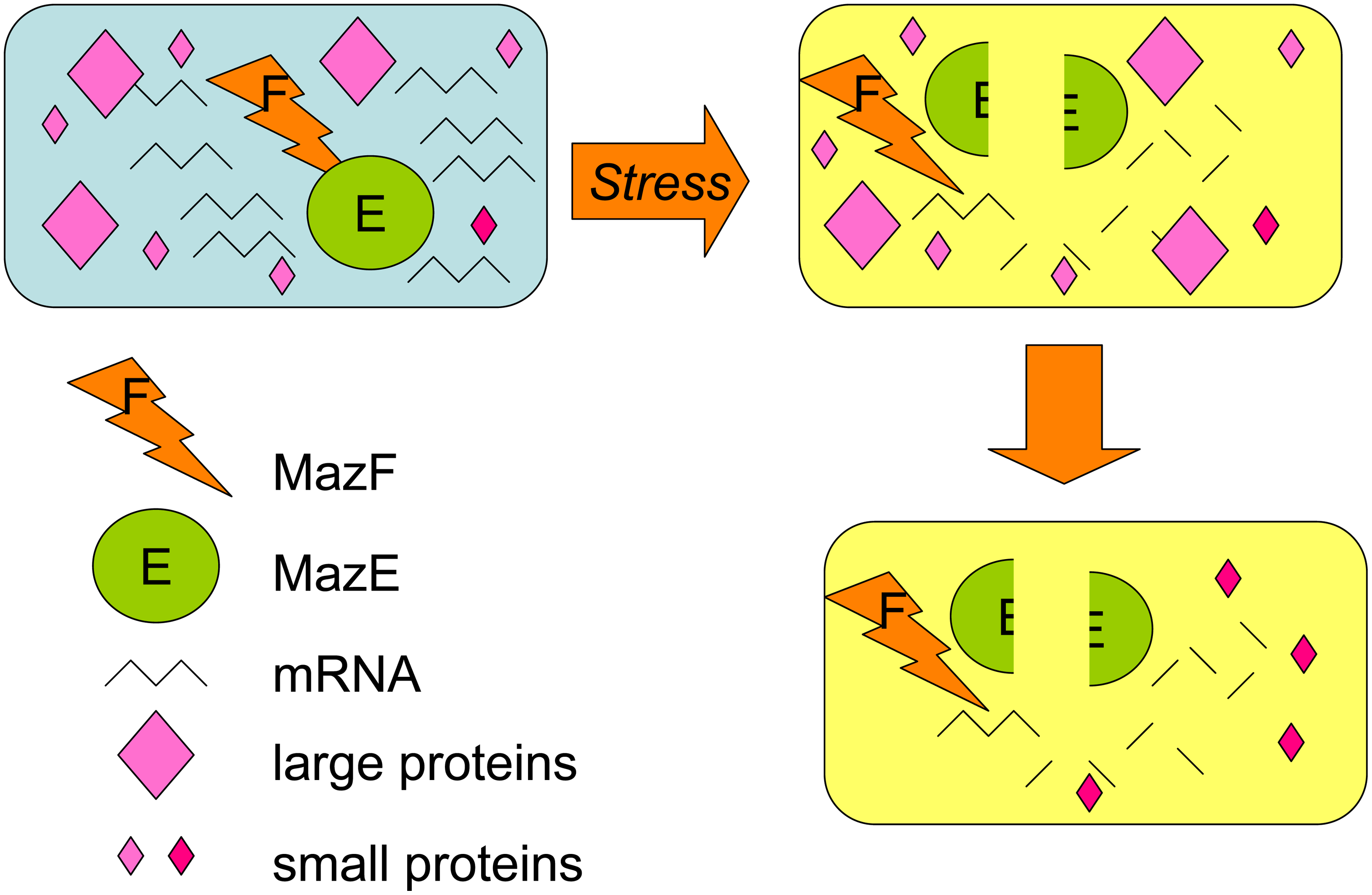 MazF RNase toxin promotes loss of most proteins but selective increase of some small proteins with functions in the MazEF death-and-survival program.